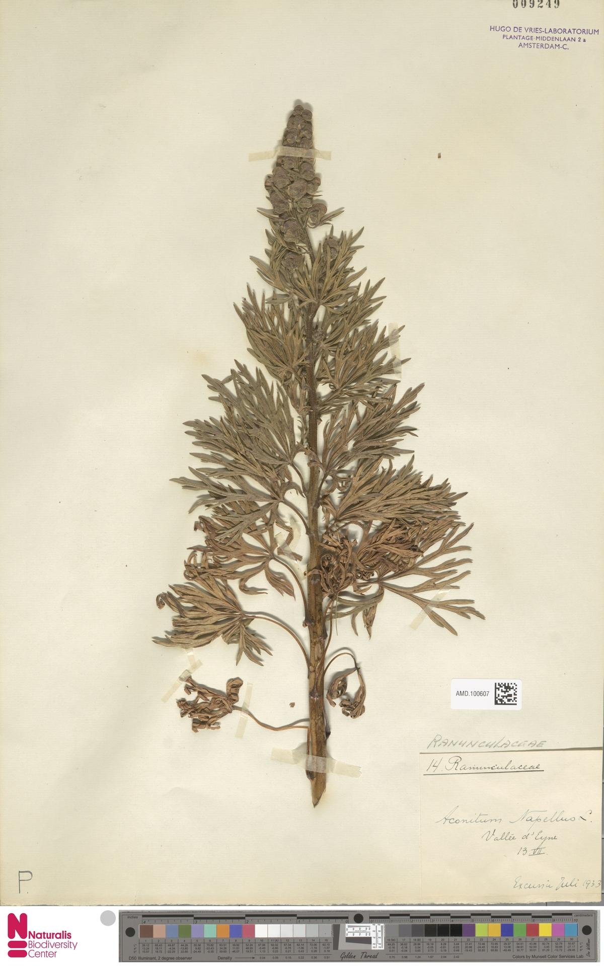 AMD.100607 | Aconitum napellus L.