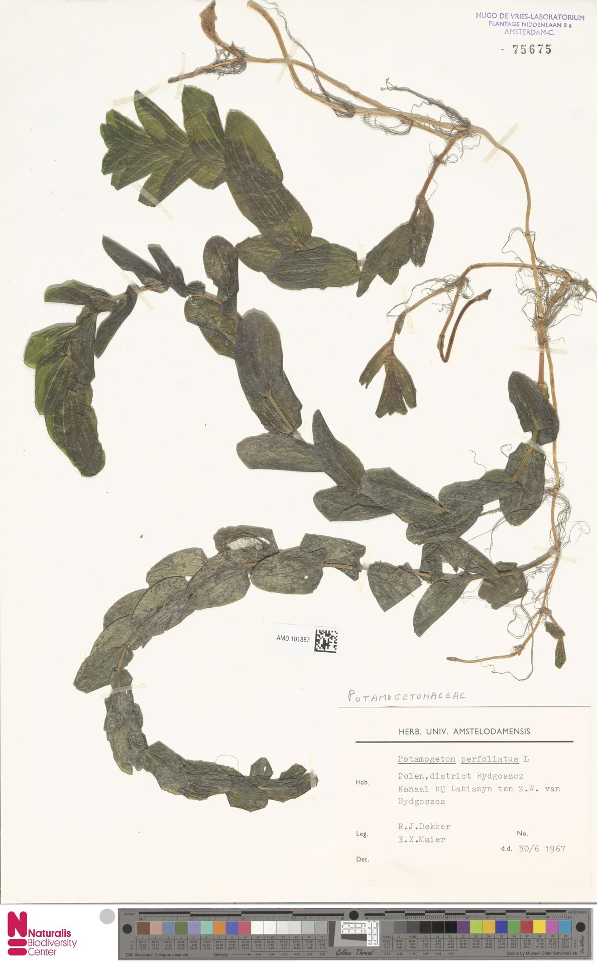 AMD.101887 | Potamogeton perfoliatus L.