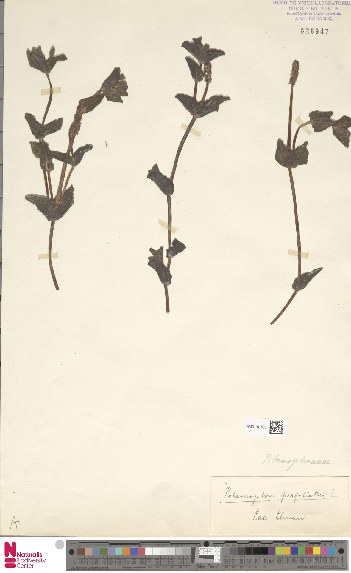AMD.101893 | Potamogeton perfoliatus L.