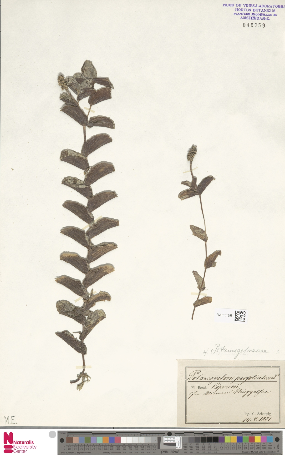 AMD.101898   Potamogeton perfoliatus L.