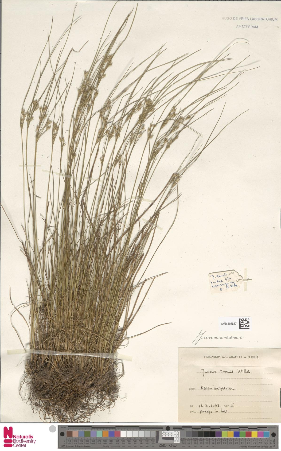 AMD.105857 | Juncus tenuis Willd.