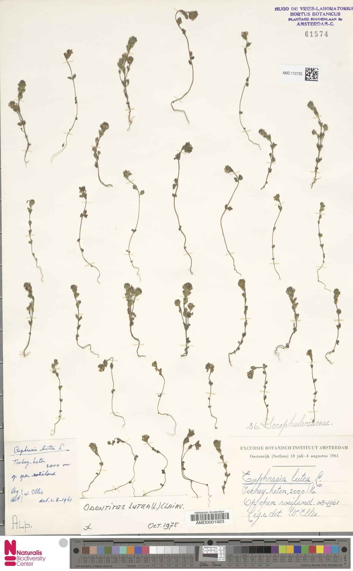 AMD.112725 | Odontites luteus (L.) Clairv.