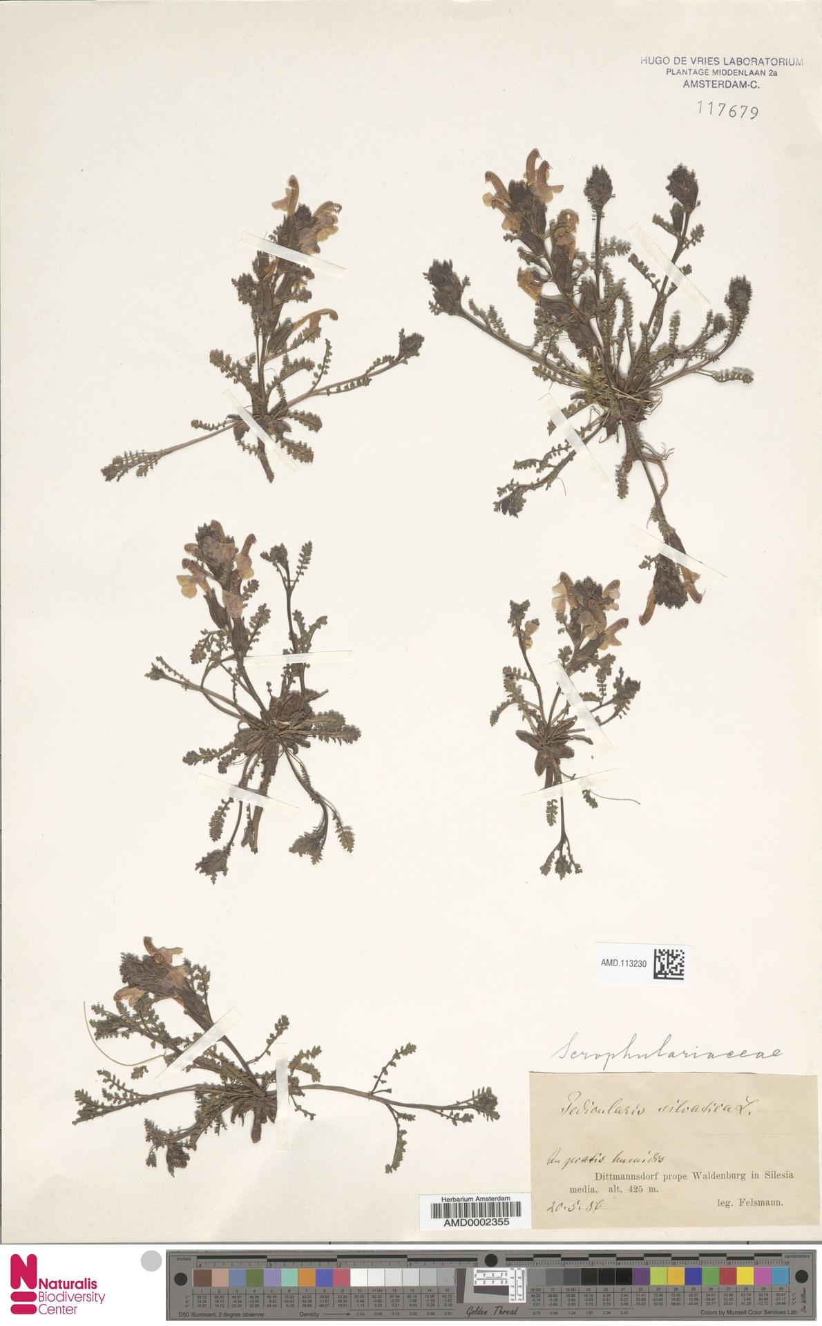 AMD.113230 | Pedicularis sylvatica L.