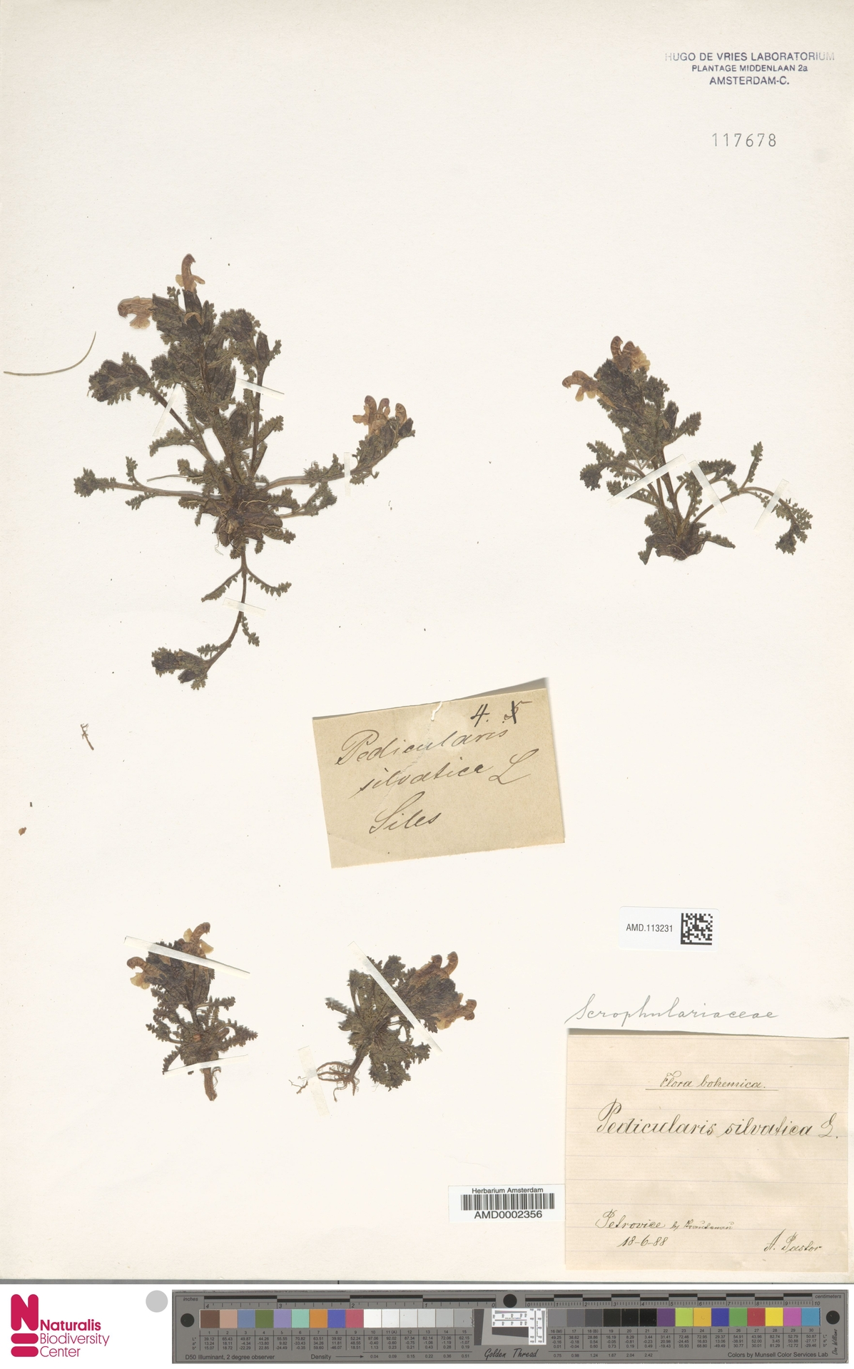 AMD.113231   Pedicularis sylvatica L.