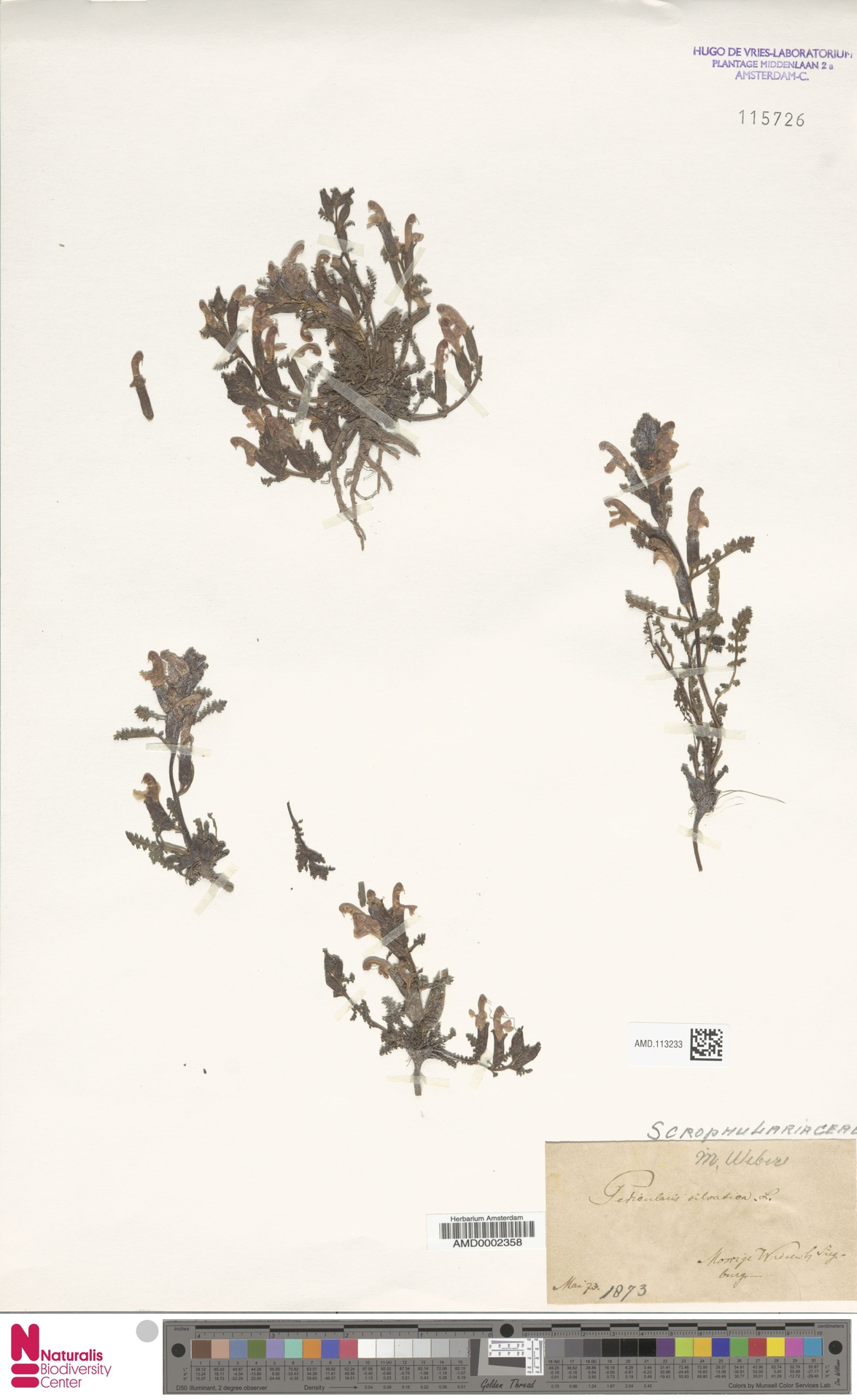AMD.113233 | Pedicularis sylvatica L.