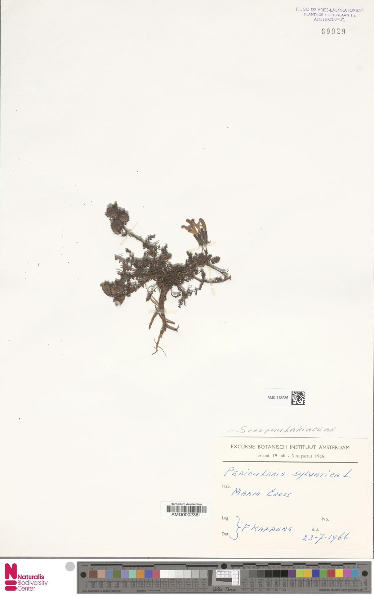 AMD.113236 | Pedicularis sylvatica L.