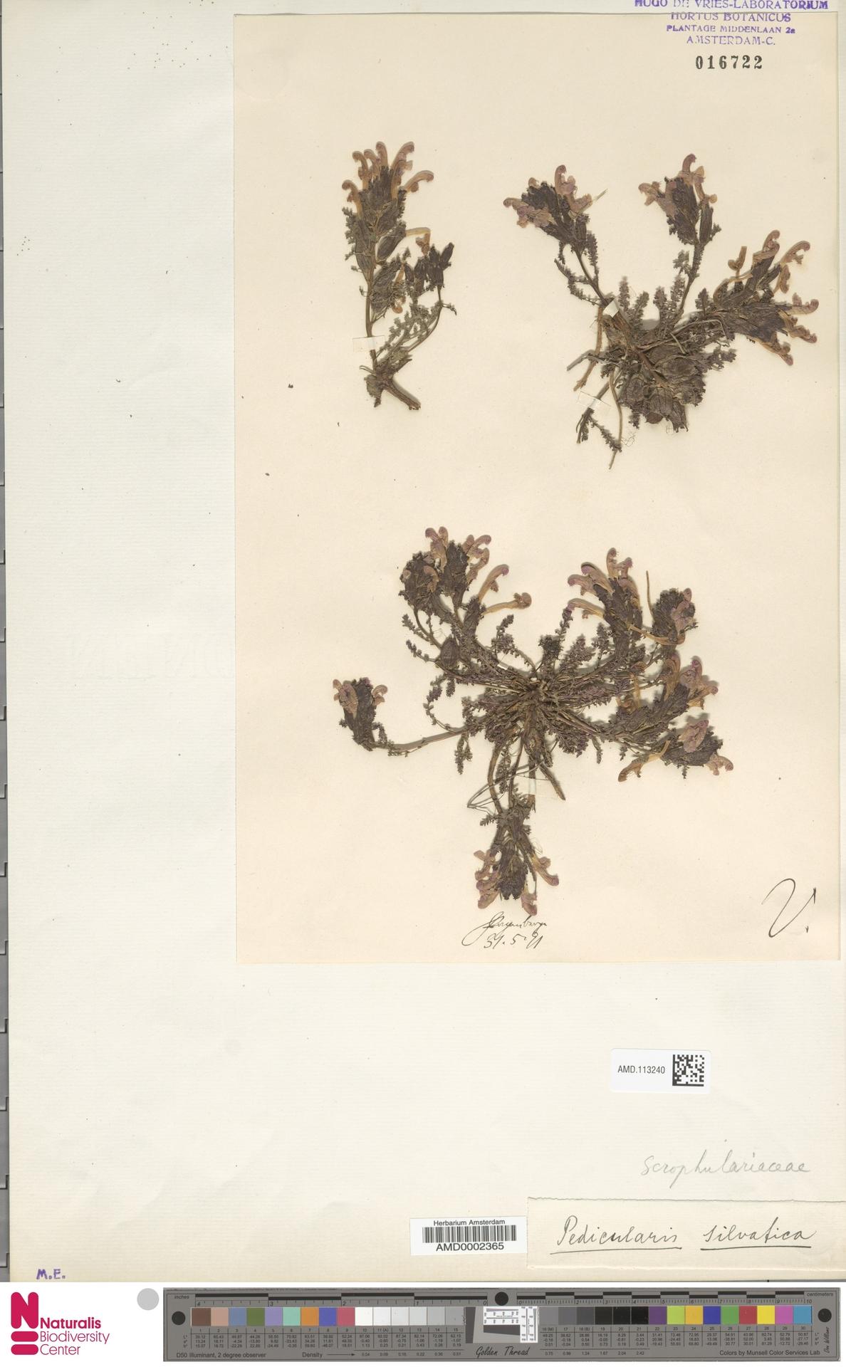 AMD.113240 | Pedicularis sylvatica L.