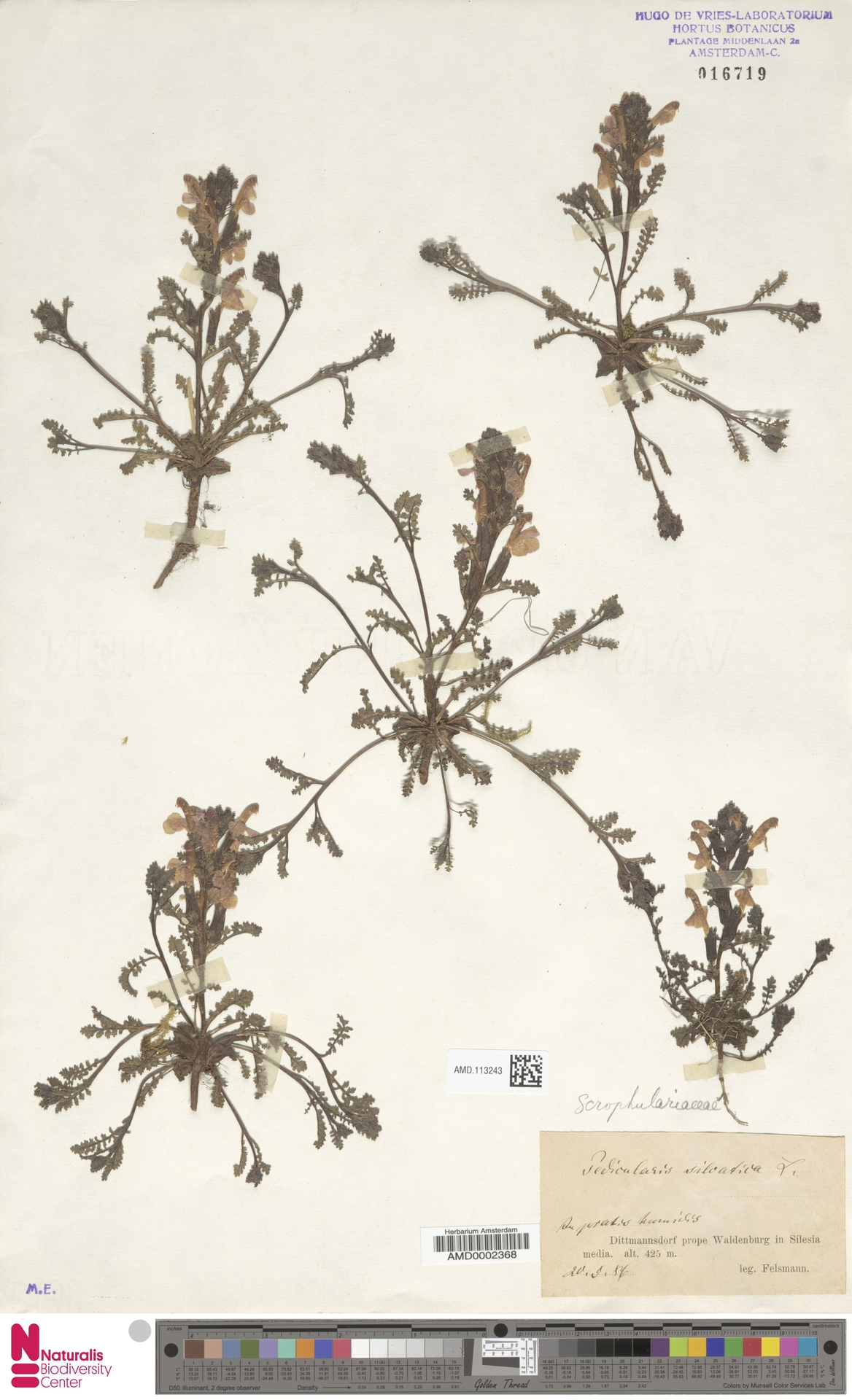 AMD.113243 | Pedicularis sylvatica L.