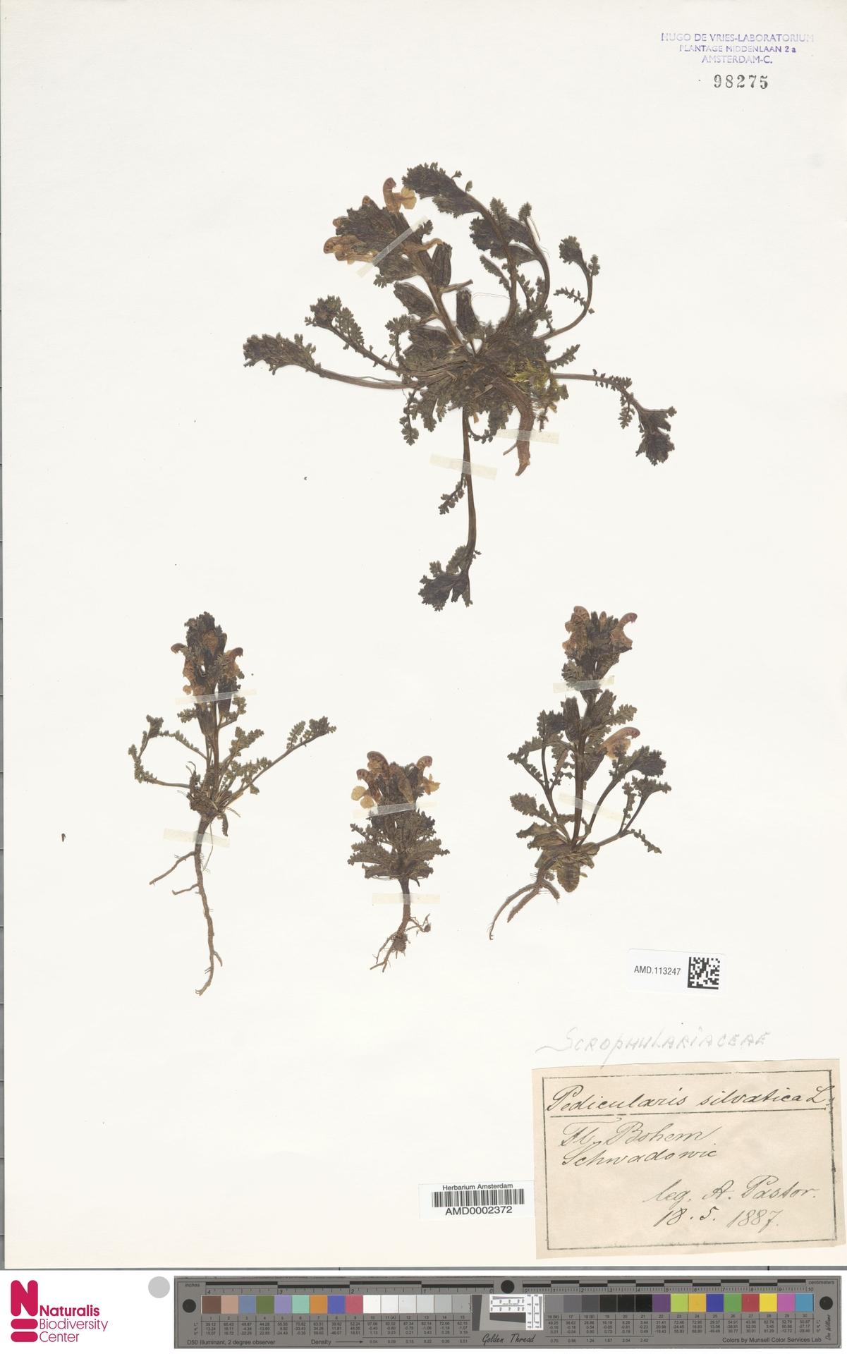 AMD.113247 | Pedicularis sylvatica L.