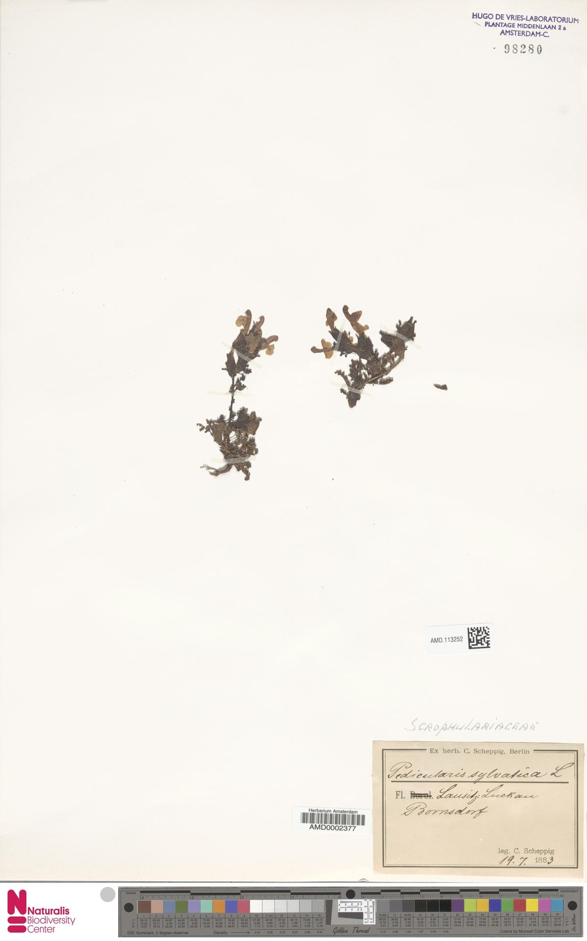 AMD.113252 | Pedicularis sylvatica L.