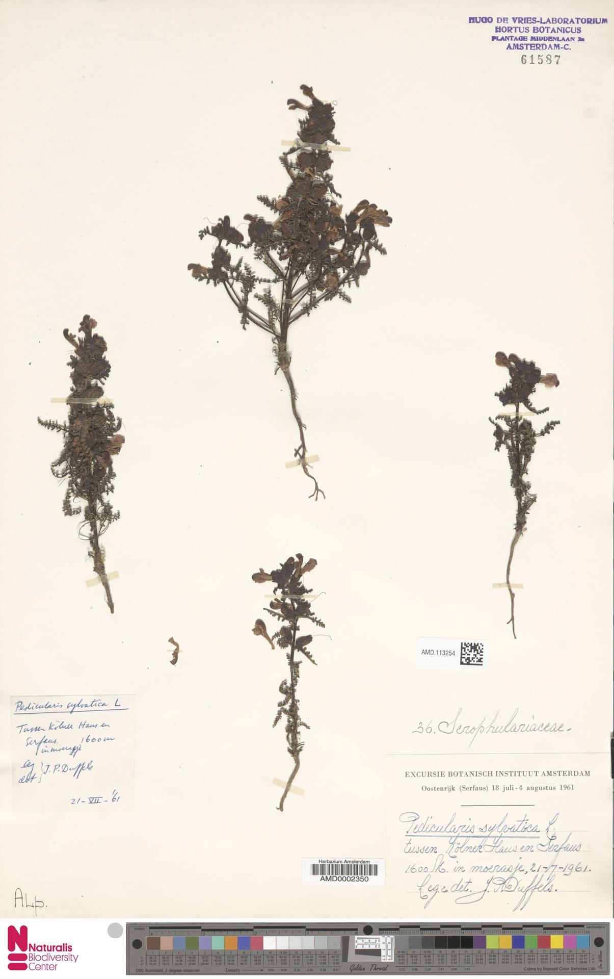 AMD.113254 | Pedicularis sylvatica L.