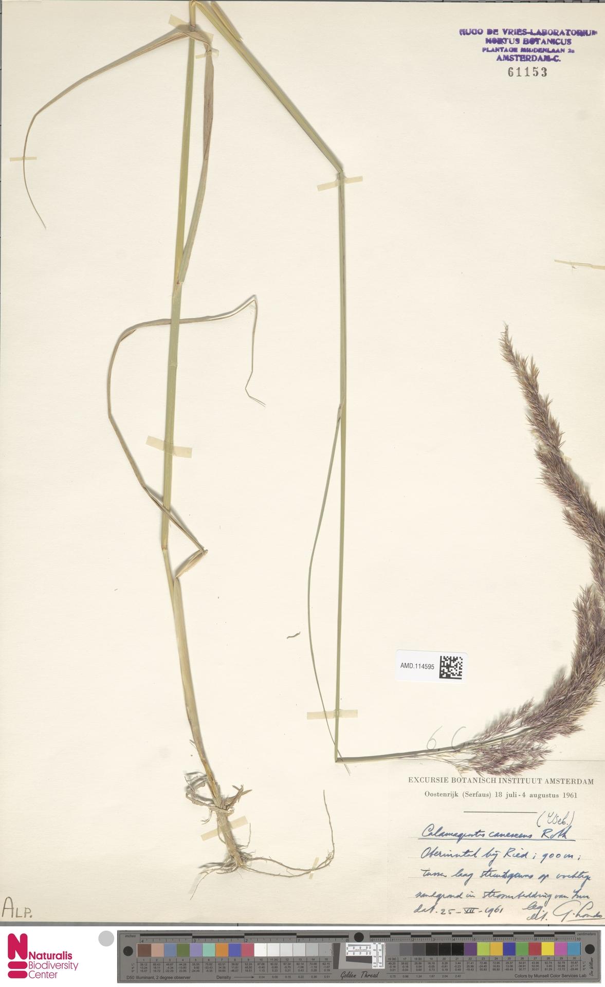 AMD.114595   Calamagrostis canescens (Weber) Roth