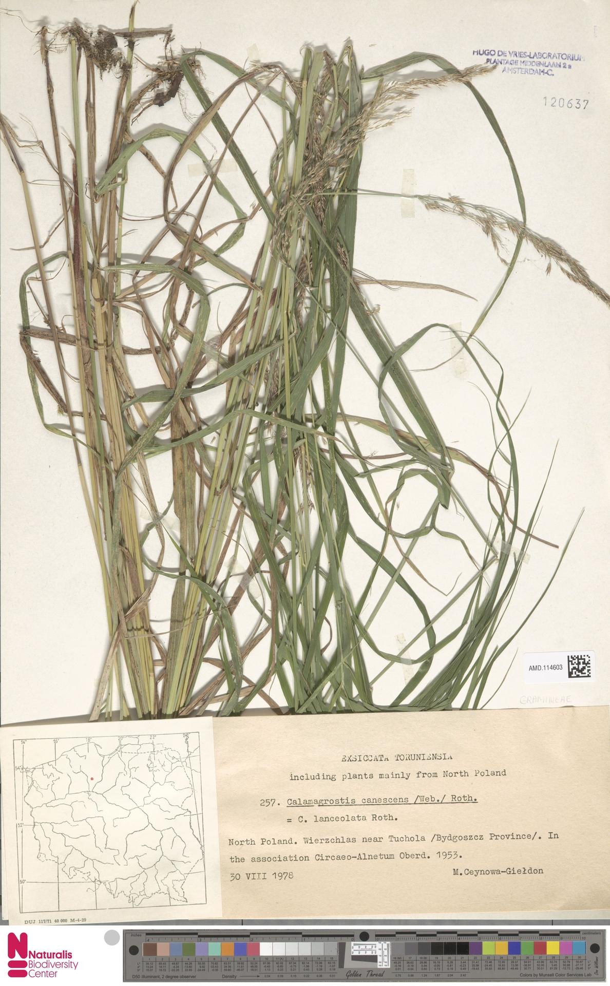 AMD.114603 | Calamagrostis canescens (Weber) Roth