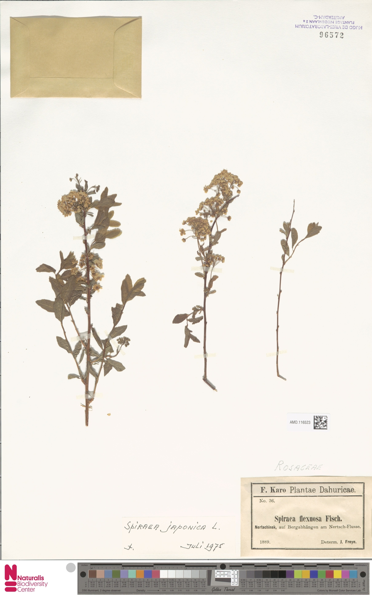 AMD.116523 | Spiraea japonica L.f.