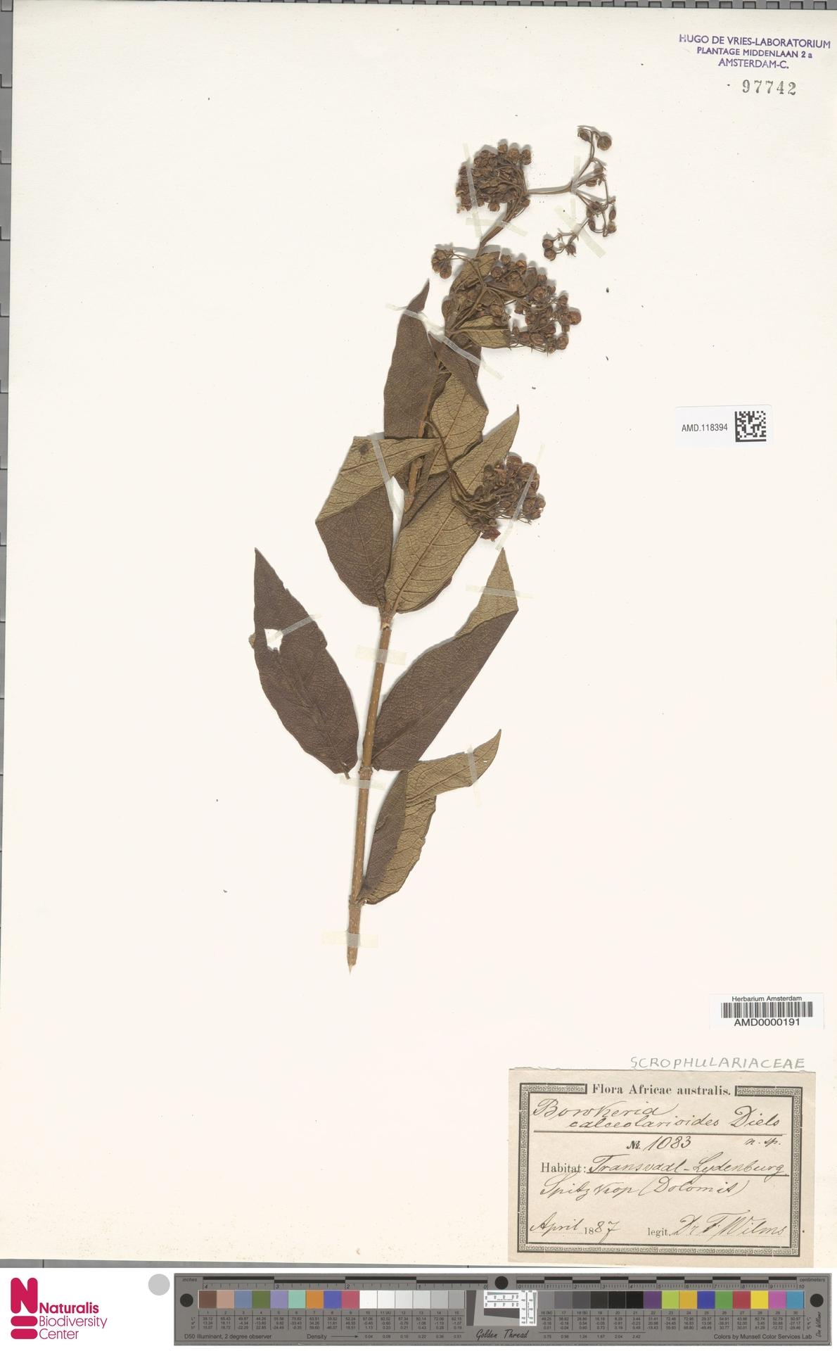 AMD.118394 | Bowkeria calceolarioides Diels