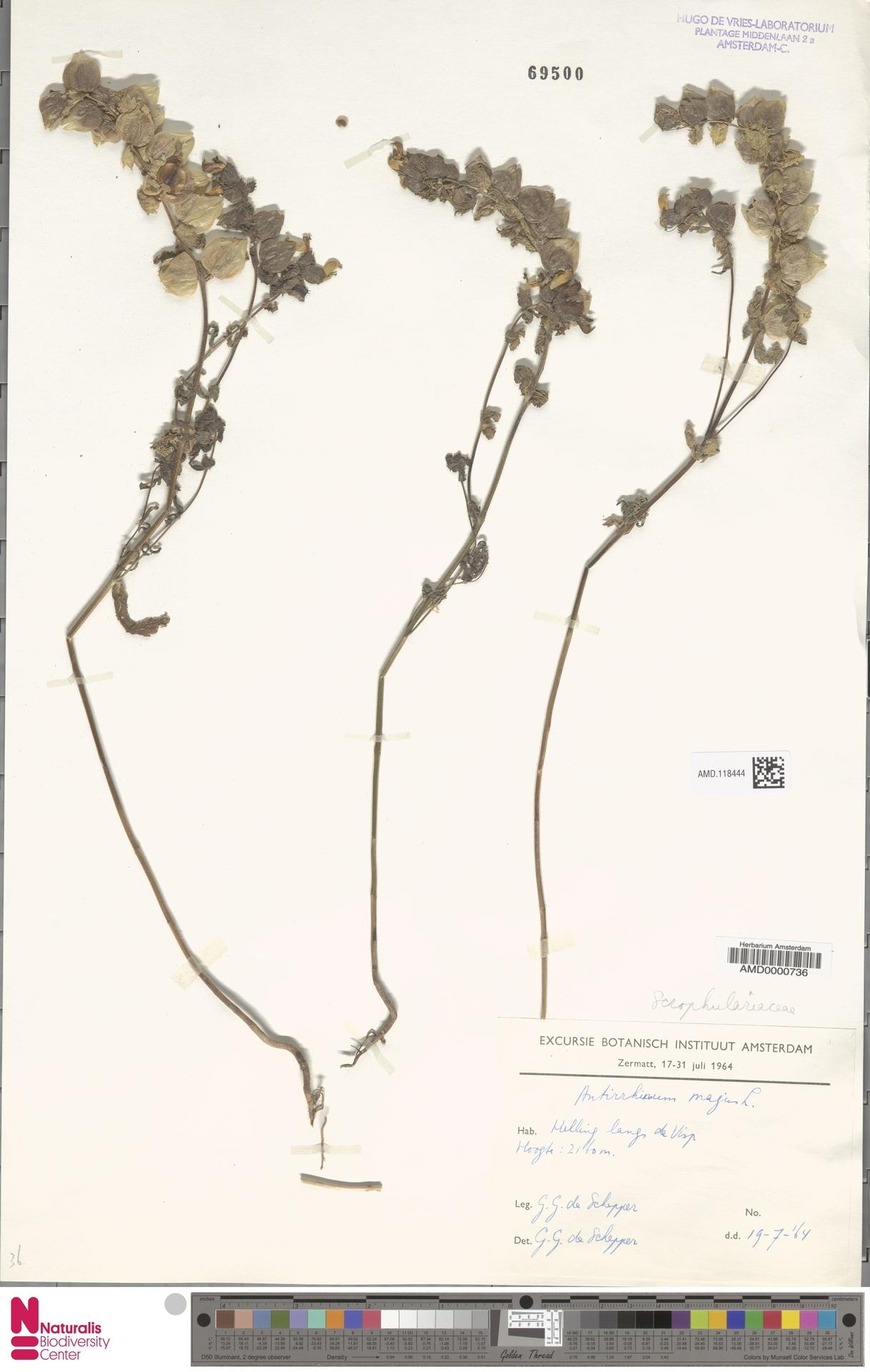 AMD.118444 | Antirrhinum majus L.
