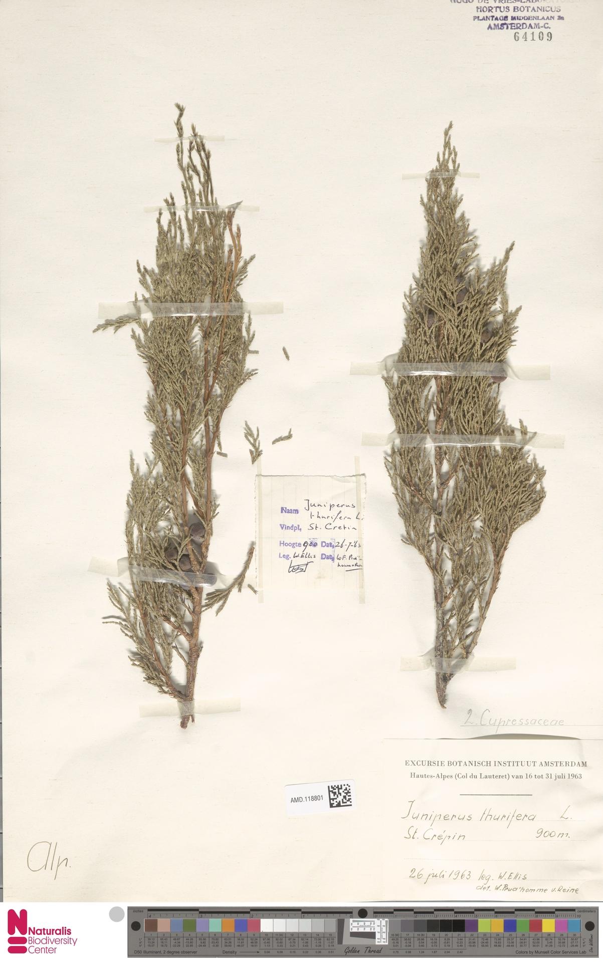 AMD.118801 | Juniperus thurifera L.