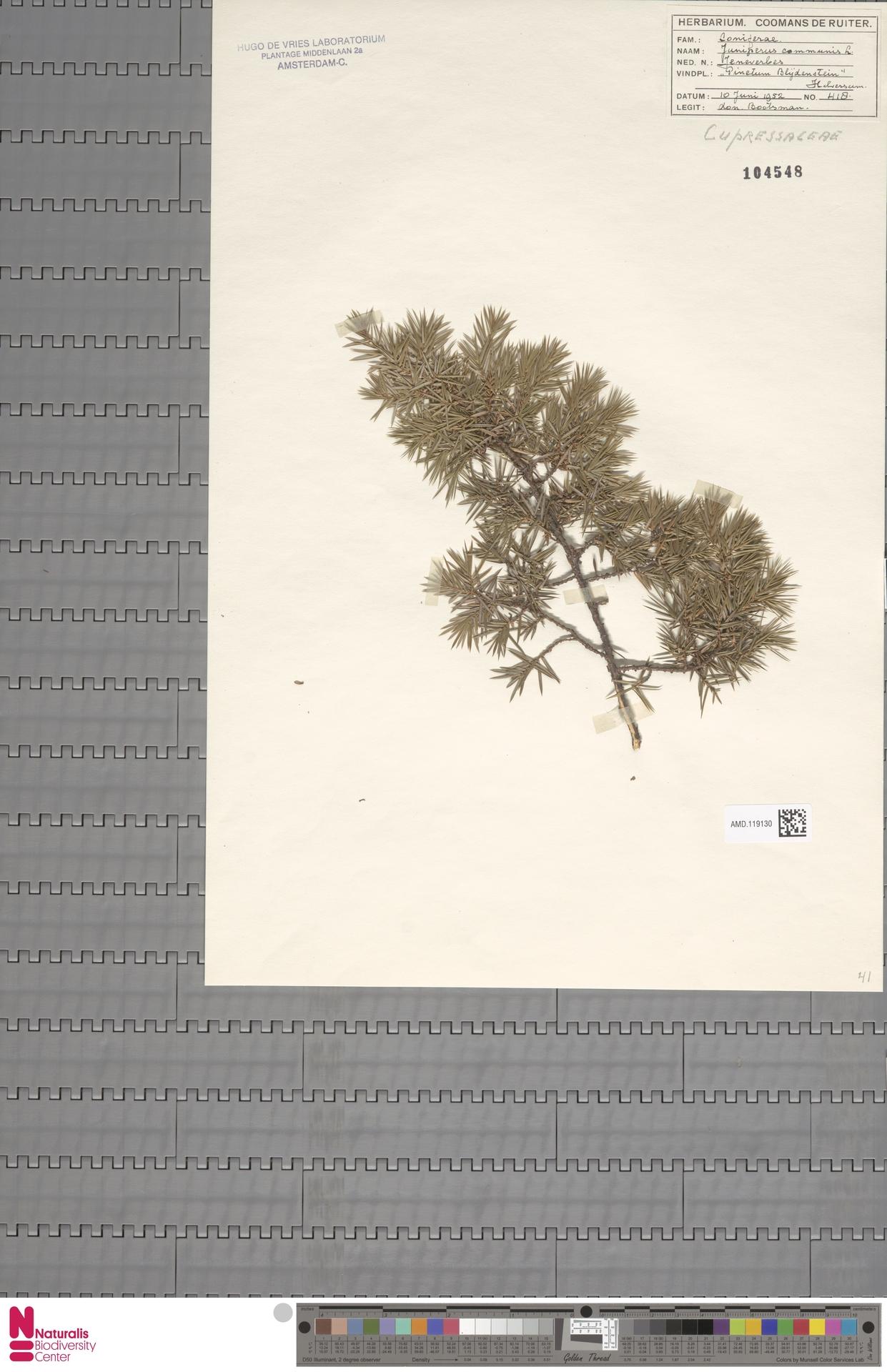 AMD.119130 | Juniperus communis L.