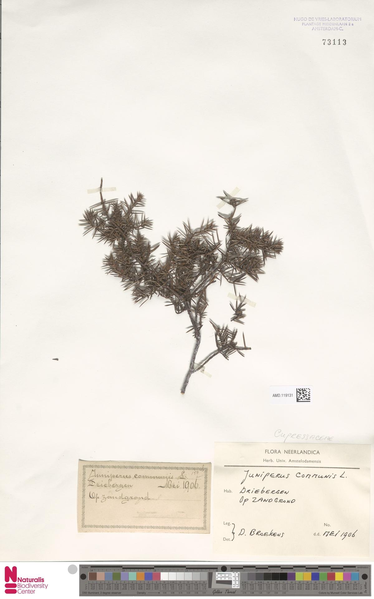 AMD.119131 | Juniperus communis L.