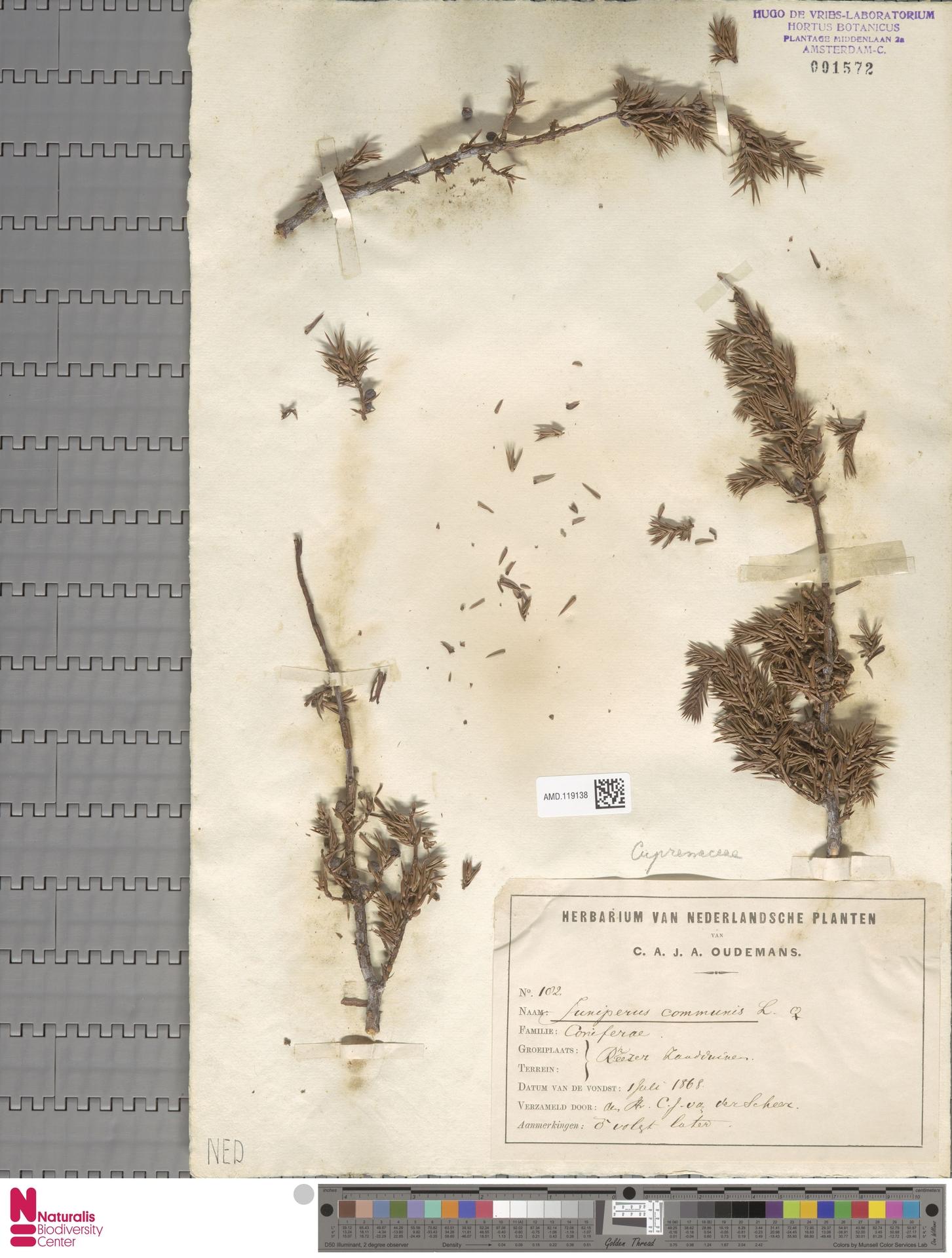 AMD.119138   Juniperus communis L.
