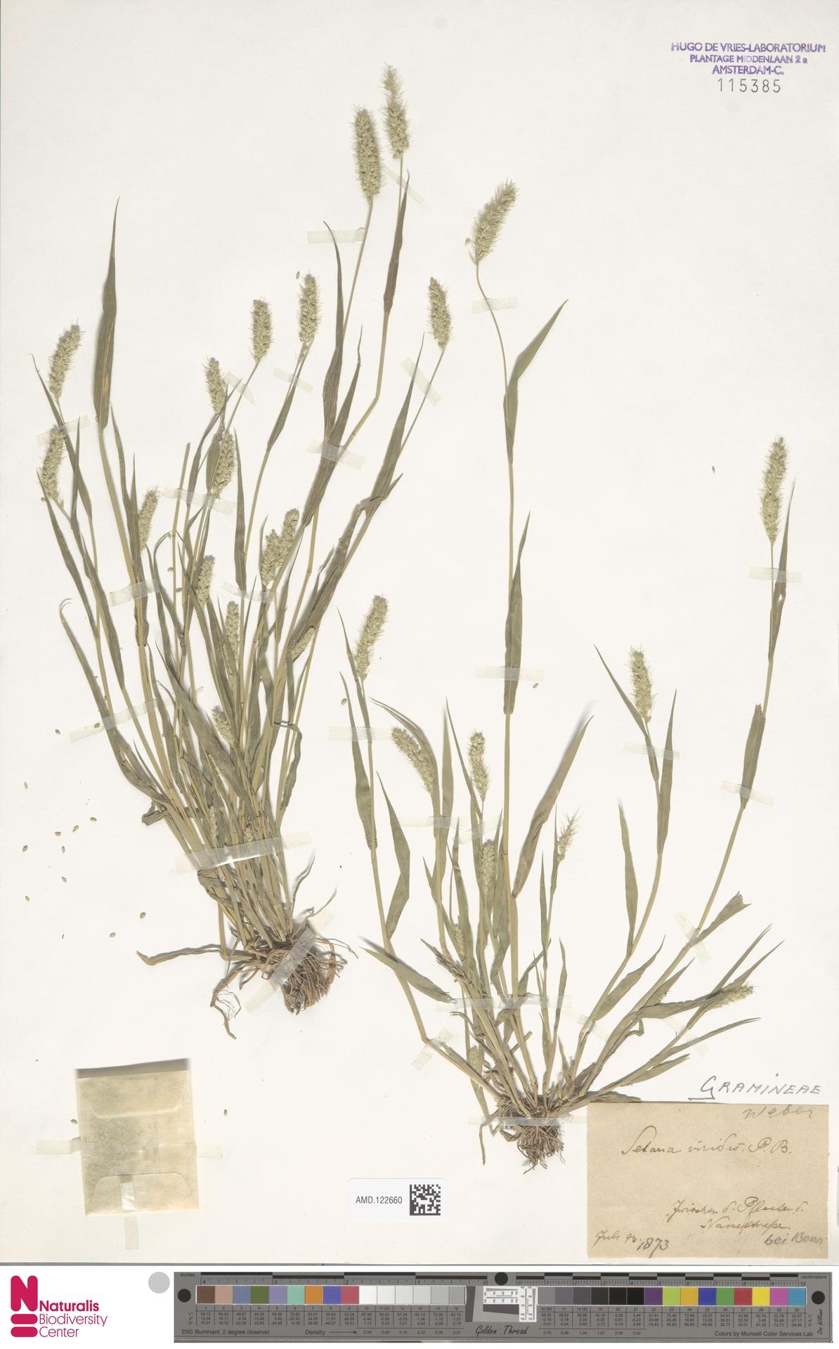 AMD.122660 | Setaria viridis (L.) P.Beauv.