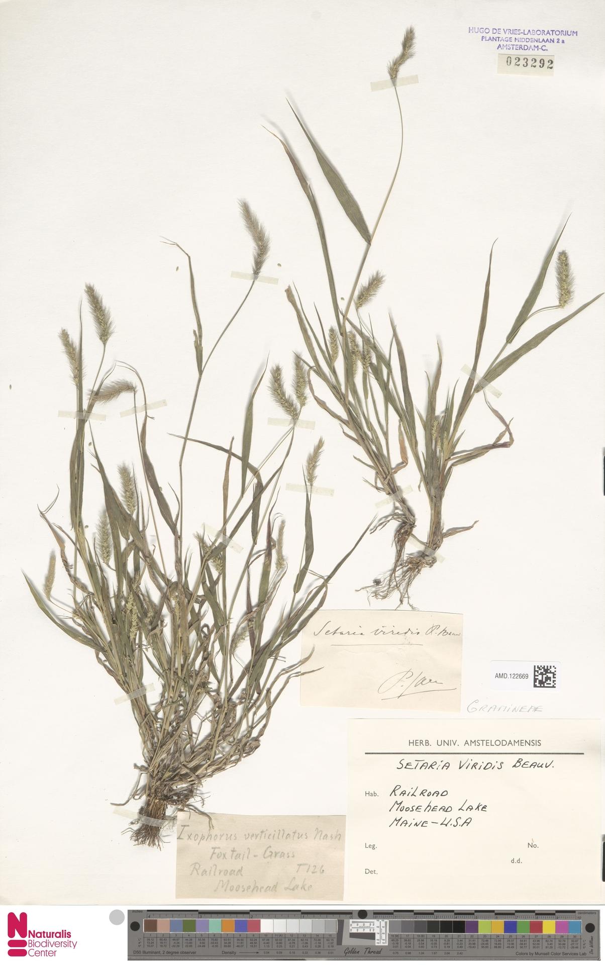 AMD.122669   Setaria viridis (L.) P.Beauv.