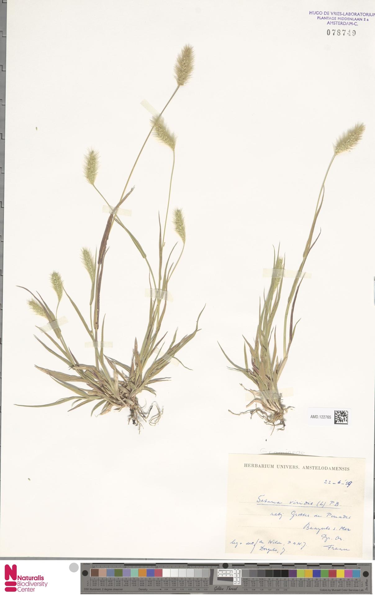 AMD.122765 | Setaria viridis (L.) P.Beauv.