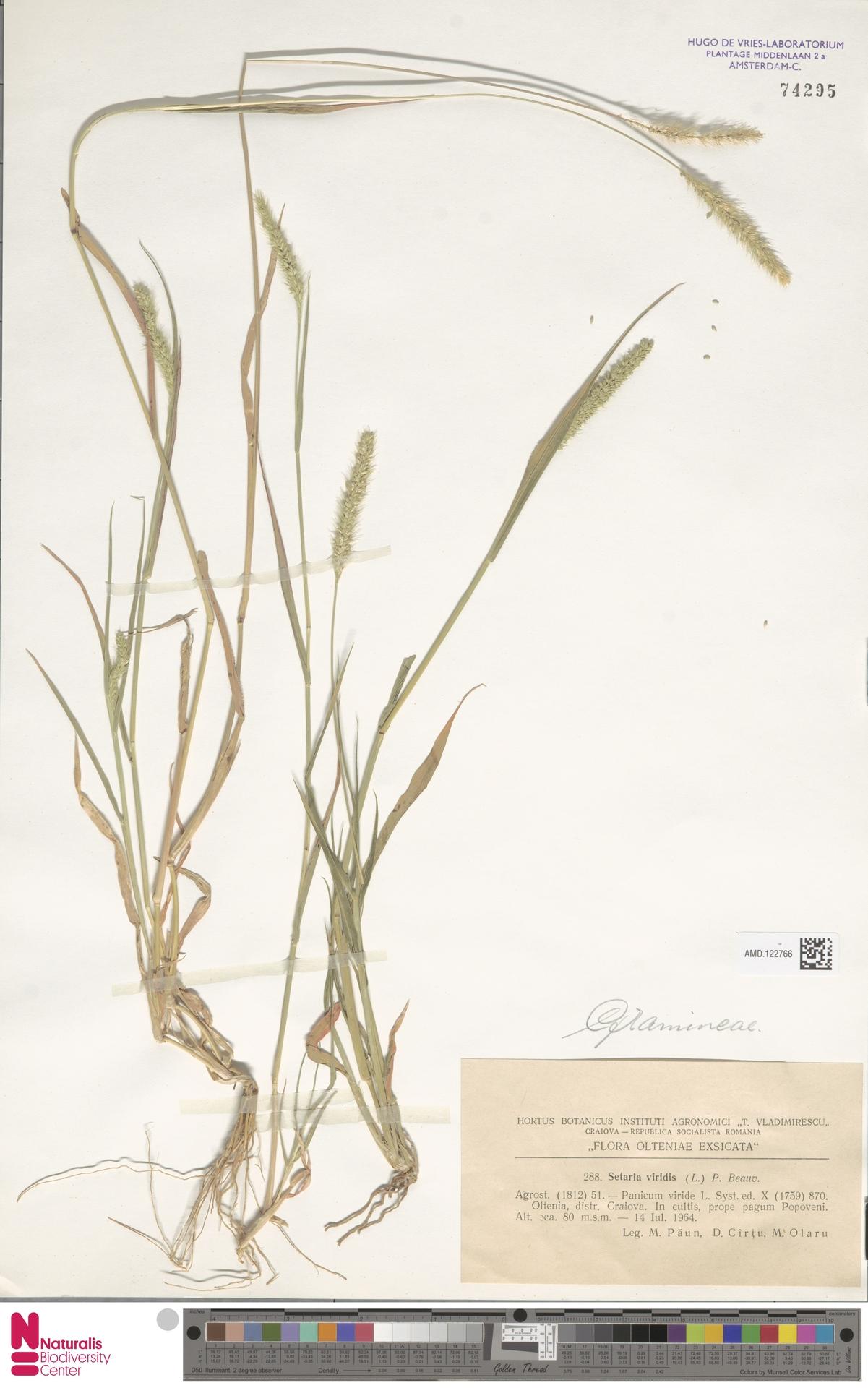 AMD.122766   Setaria viridis (L.) P.Beauv.