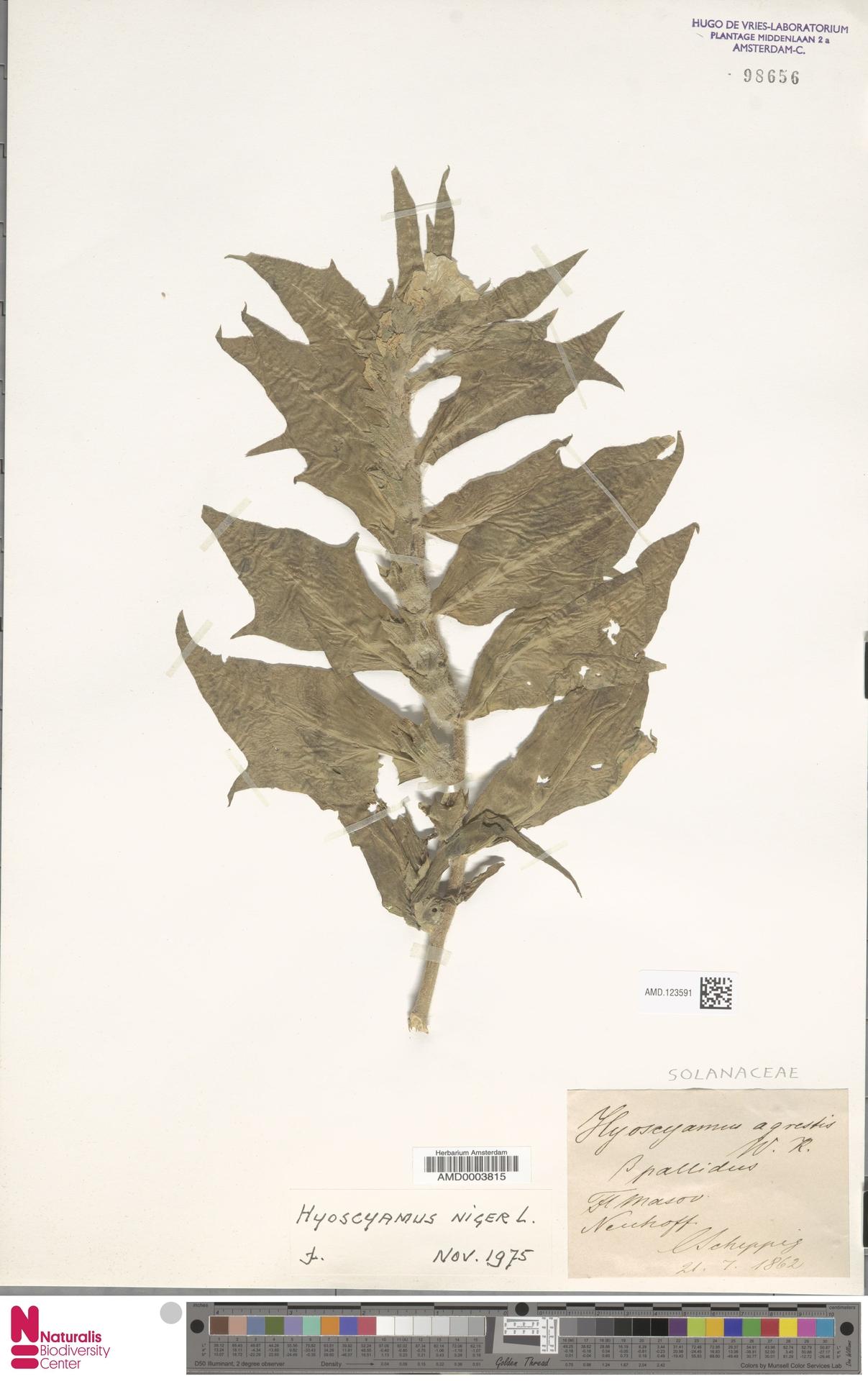 AMD.123591 | Hyoscyamus niger L.