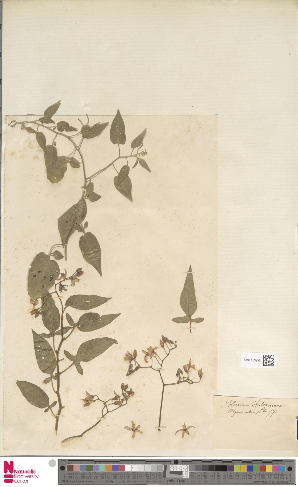 AMD.123958 | Solanum dulcamara L.