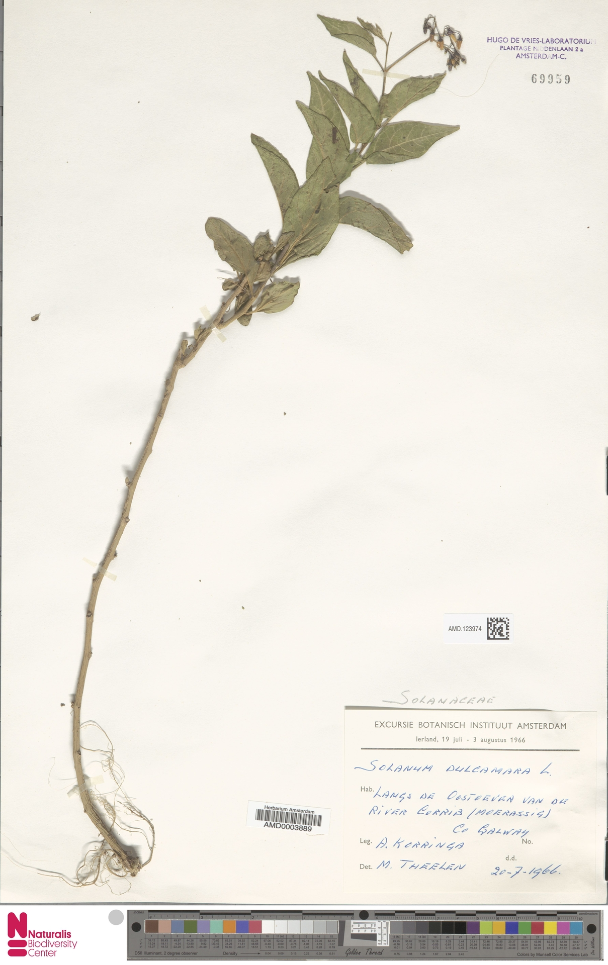 AMD.123974   Solanum dulcamara L.