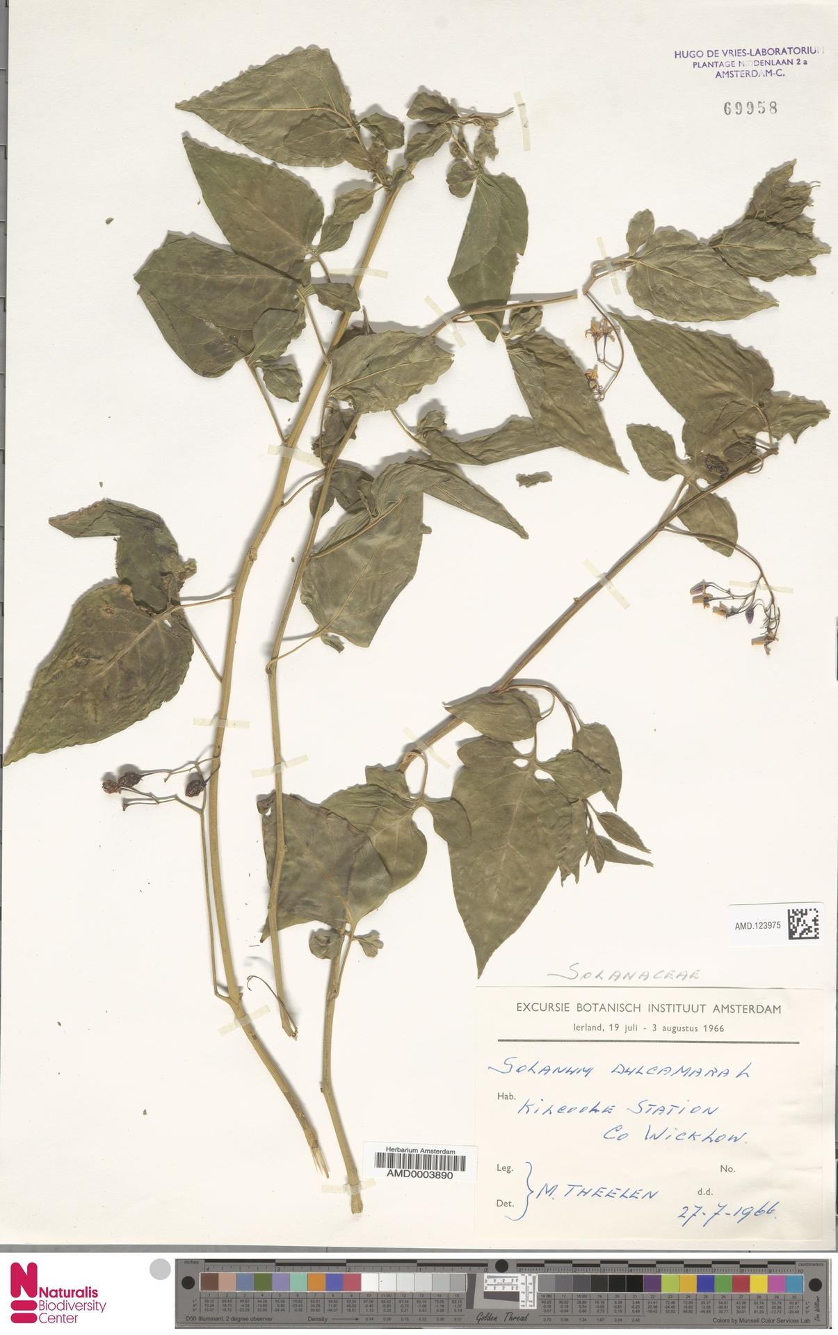 AMD.123975 | Solanum dulcamara L.