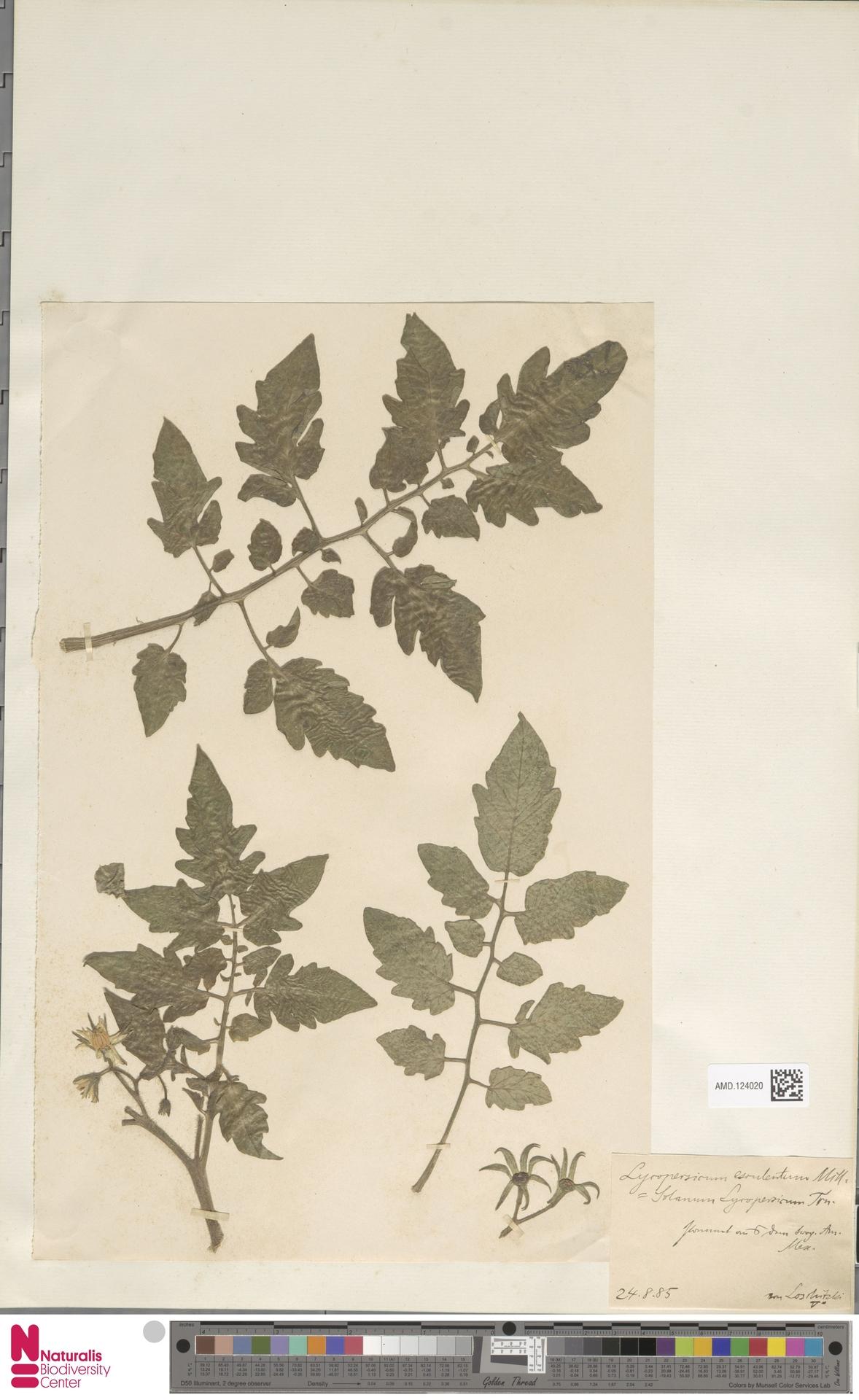 AMD.124020   Solanum lycopersicum L.