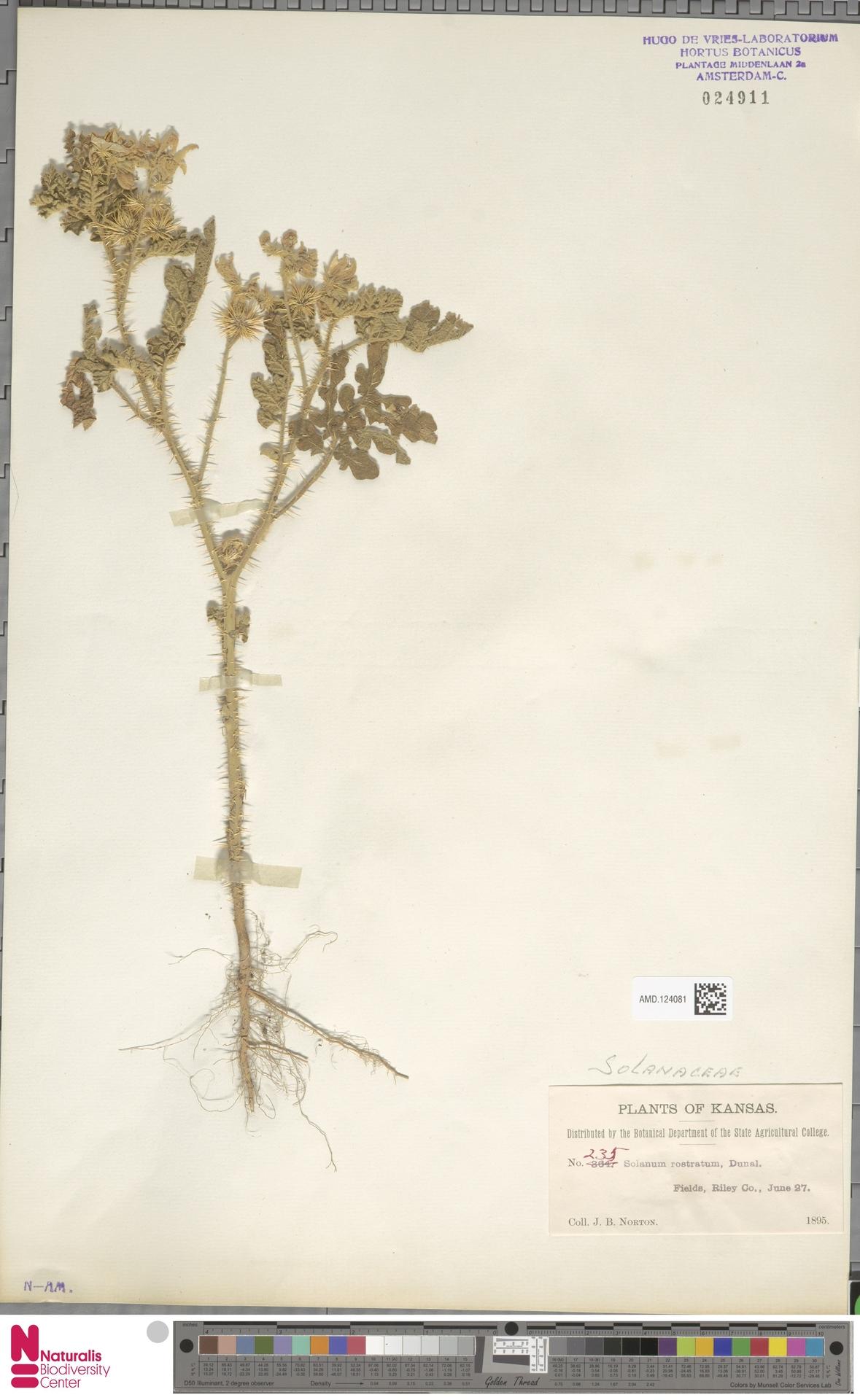 AMD.124081   Solanum rostratum Dunal