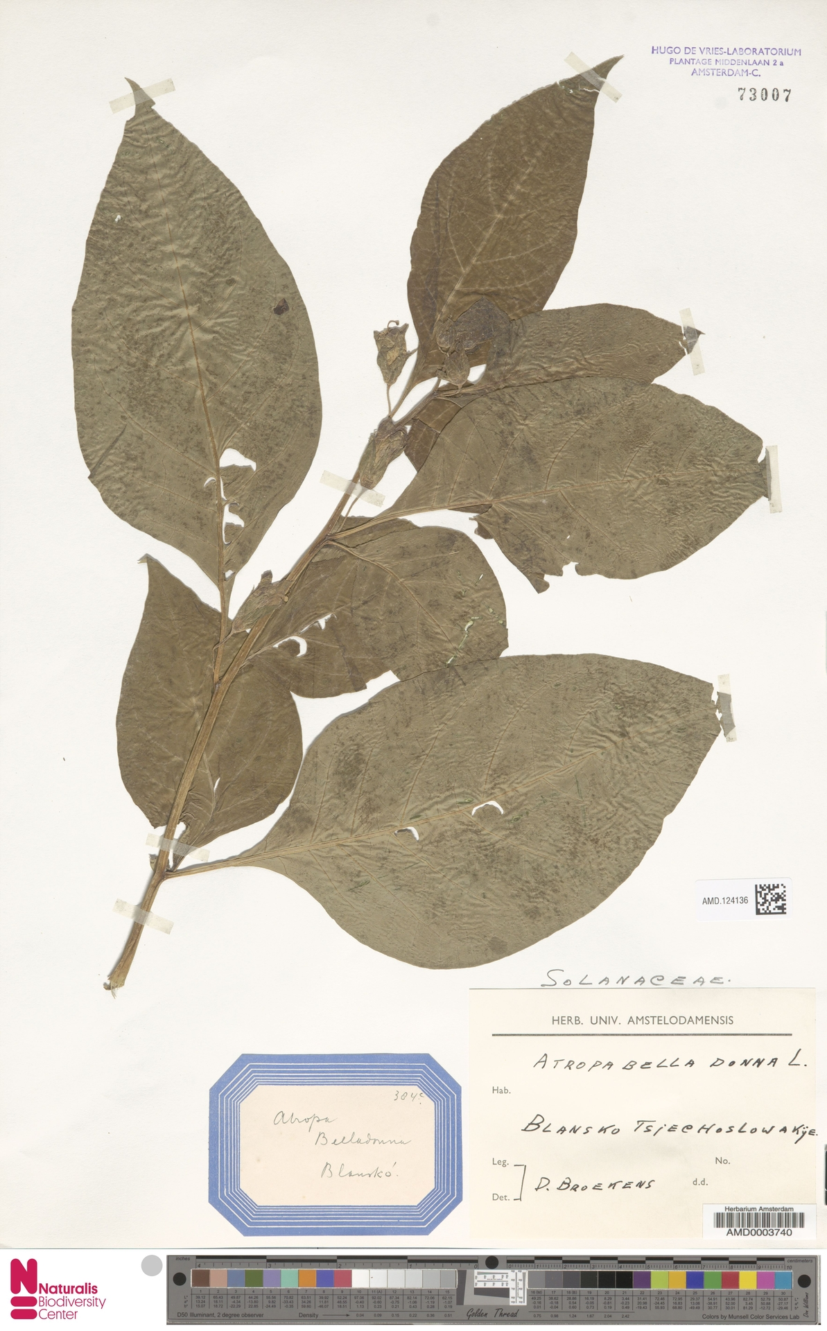 AMD.124136   Atropa belladonna L.