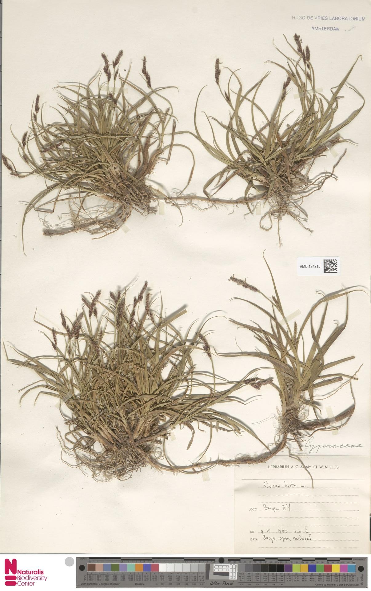 AMD.124215 | Carex hirta L.