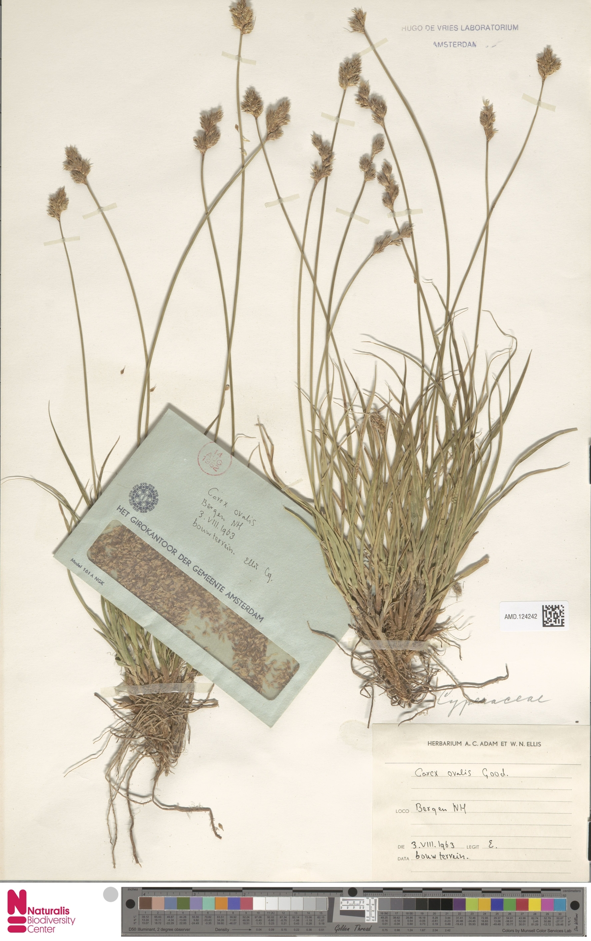 AMD.124242 | Carex ovalis Gooden.