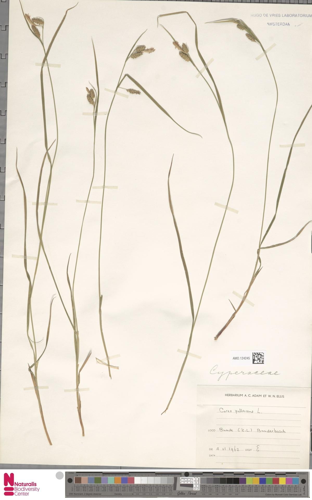 AMD.124245 | Carex pallescens L.