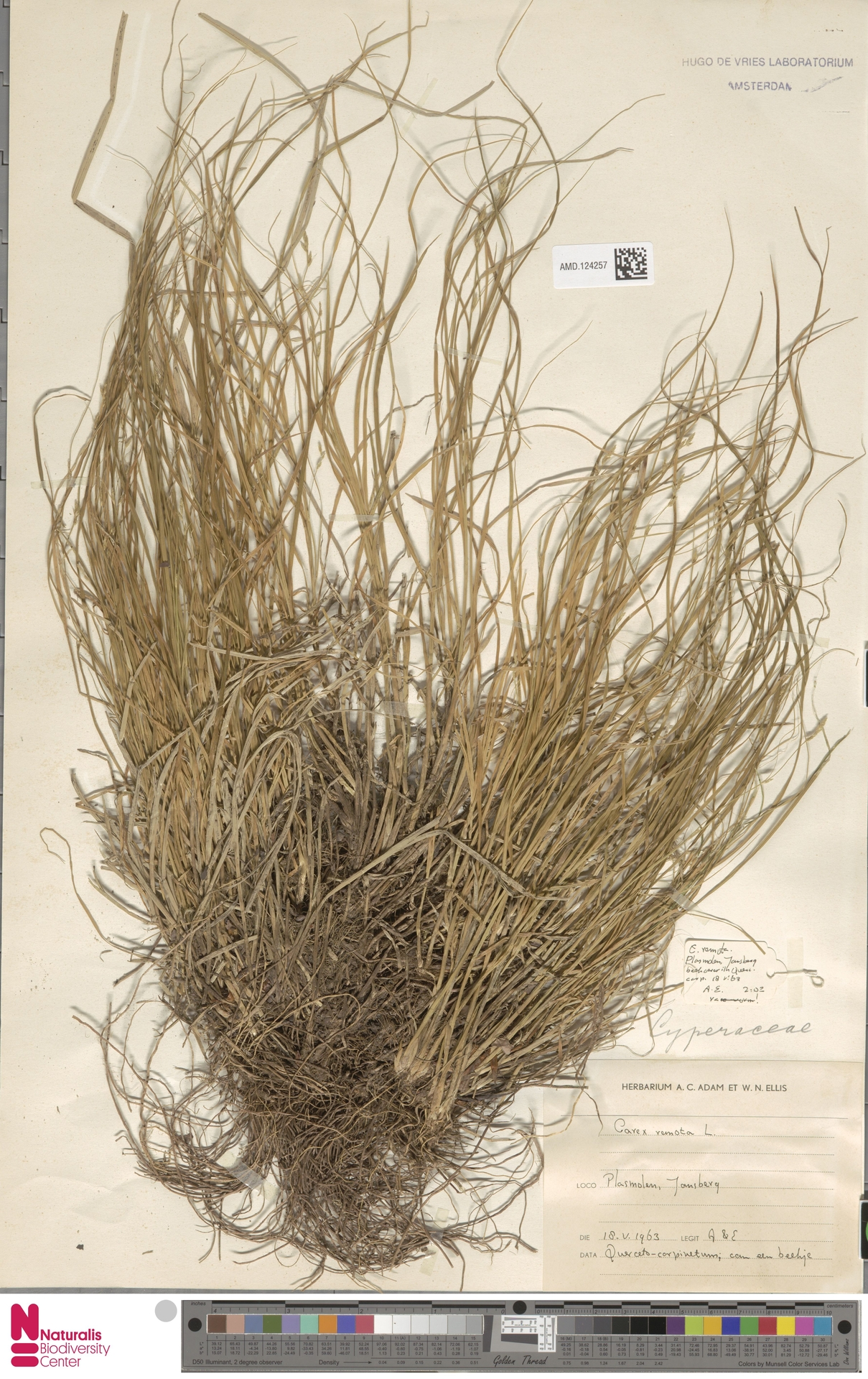 AMD.124257 | Carex remota L.