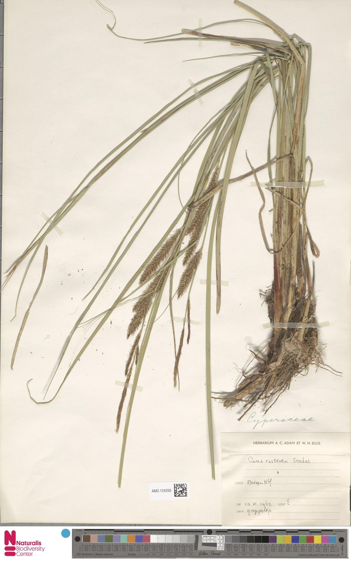 AMD.124259 | Carex rostrata Stokes