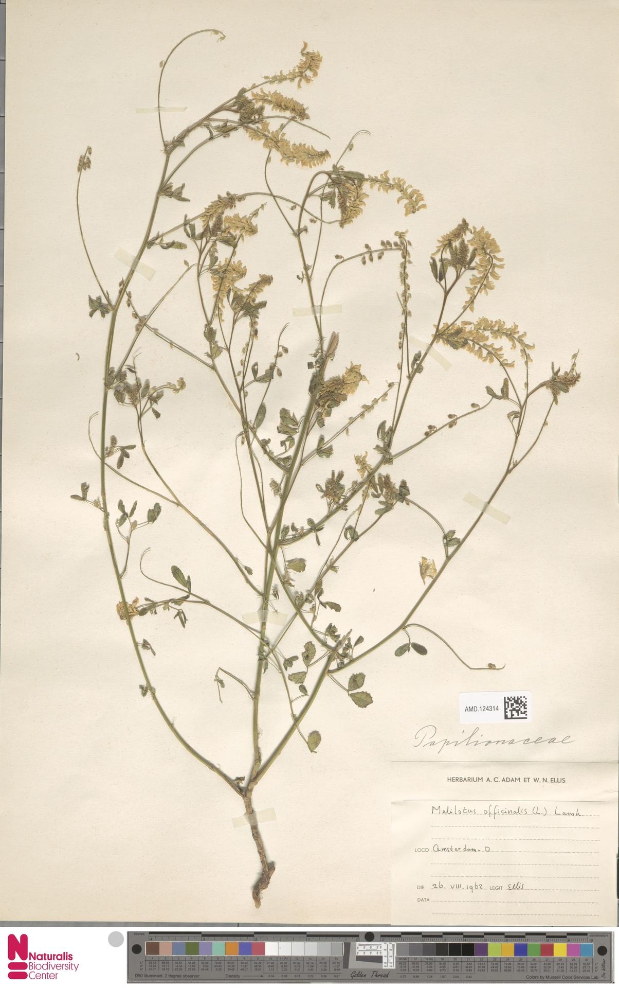 AMD.124314 | Melilotus officinalis (L.) Pall.