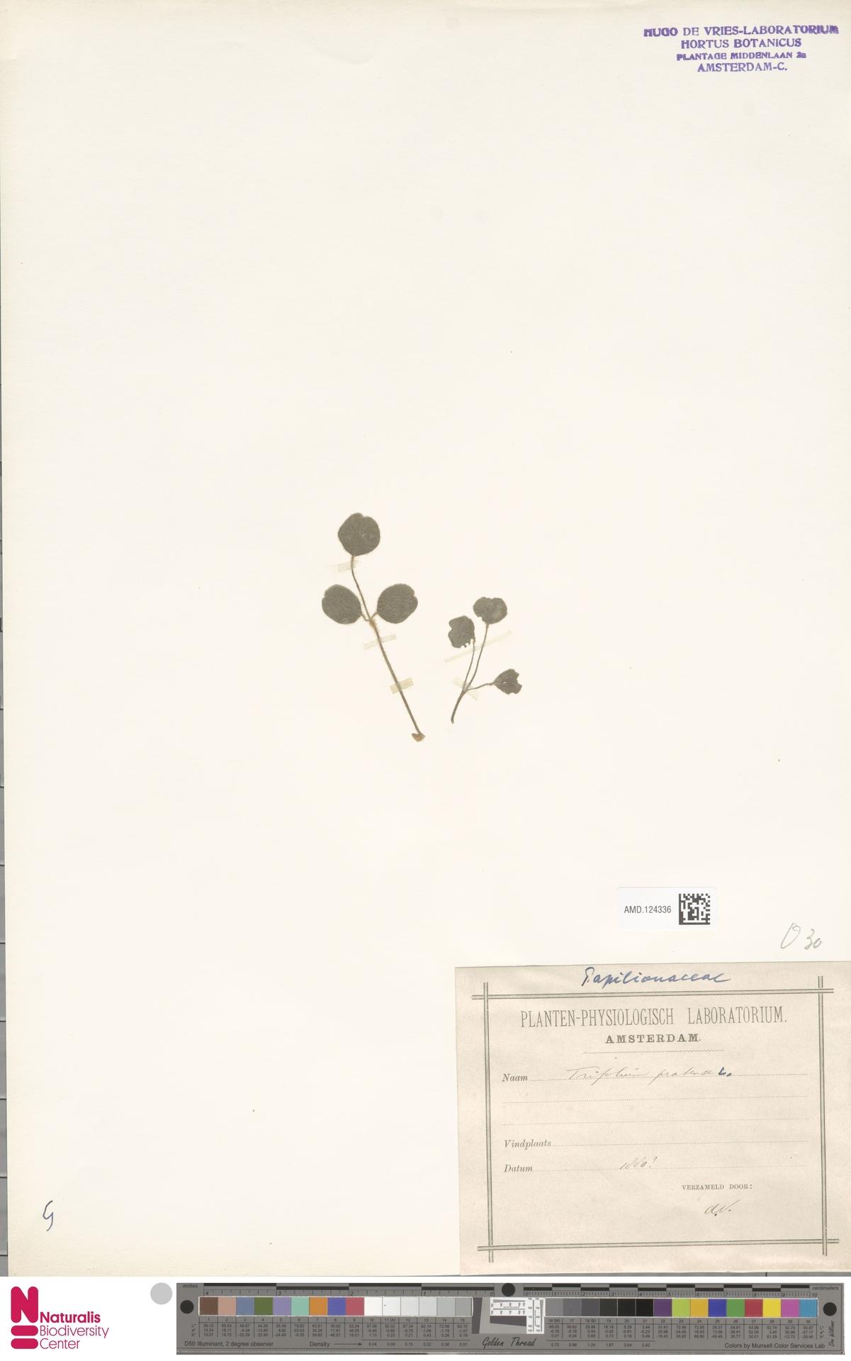 AMD.124336   Trifolium pratense L.
