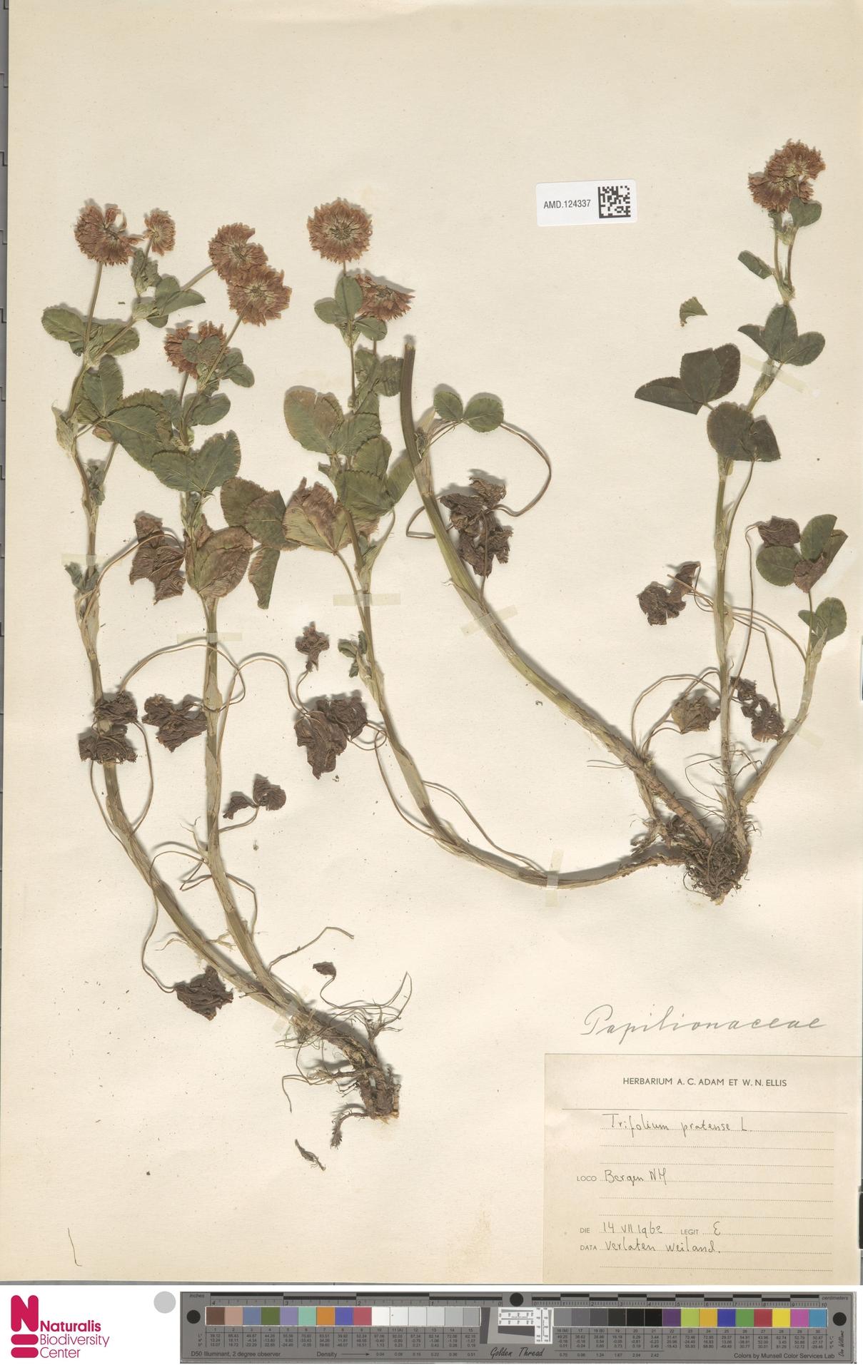 AMD.124337 | Trifolium pratense L.