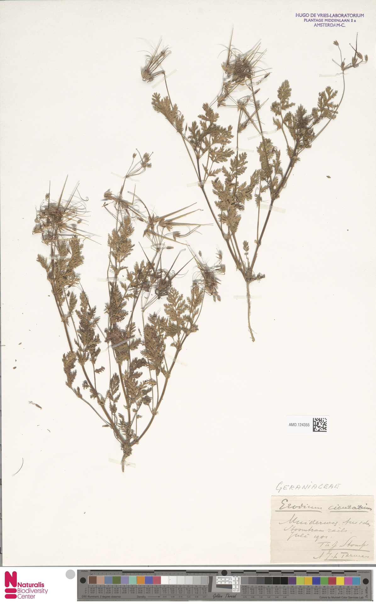 AMD.124355 | Erodium cicutarium (L.) L'Hér.