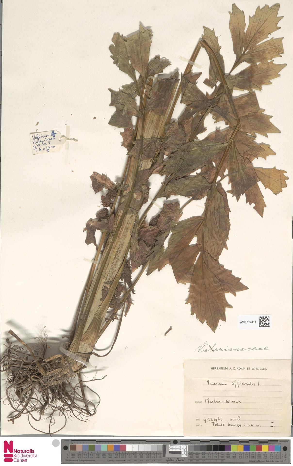 AMD.124411 | Valeriana officinalis L.