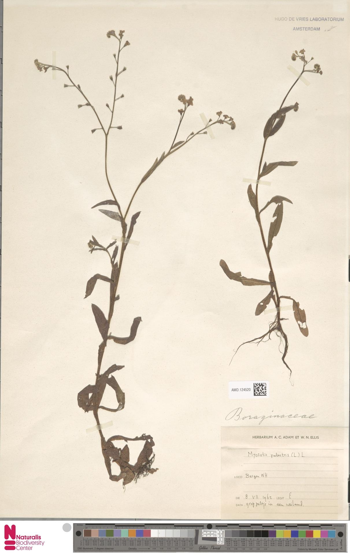 AMD.124520 | Myosotis palustris (L.) Nathh.