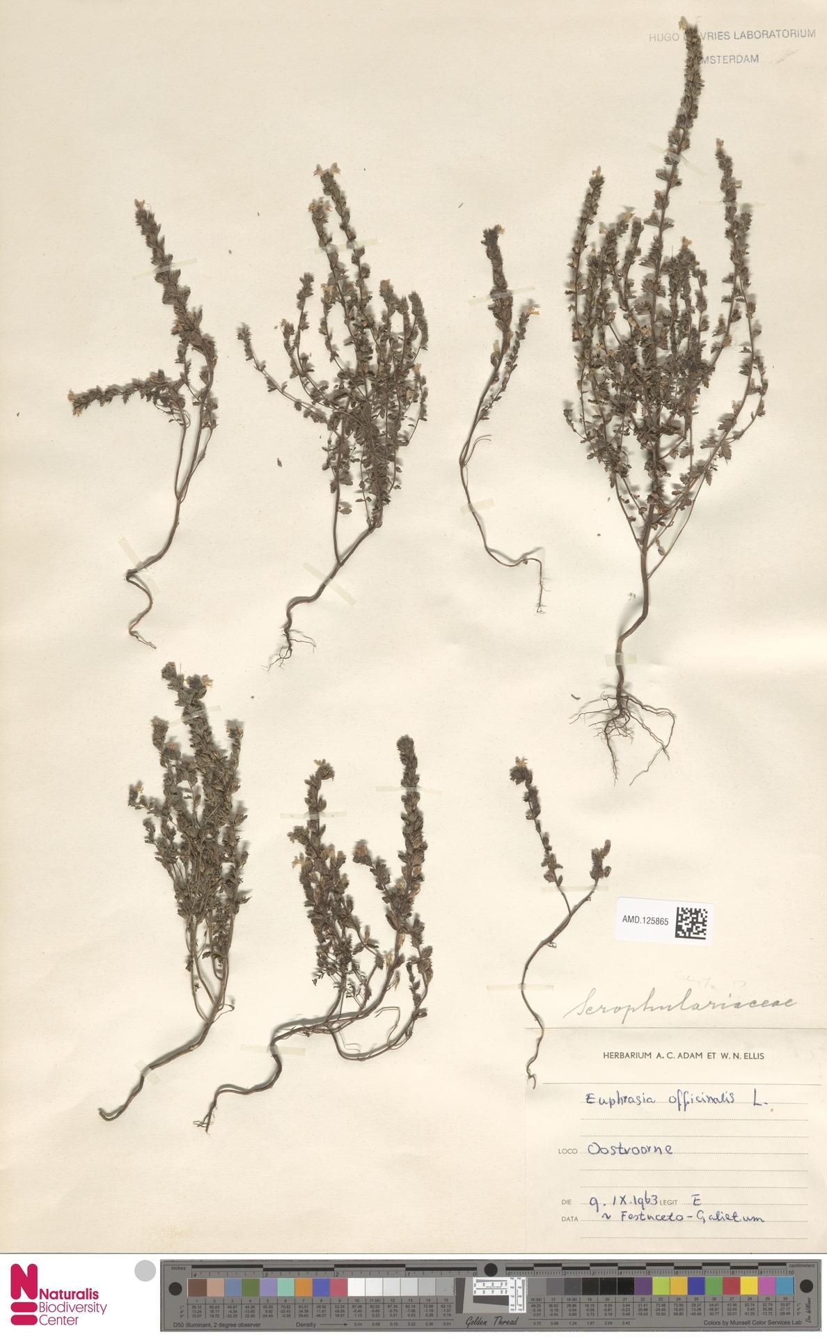AMD.125865 | Euphrasia officinalis L.