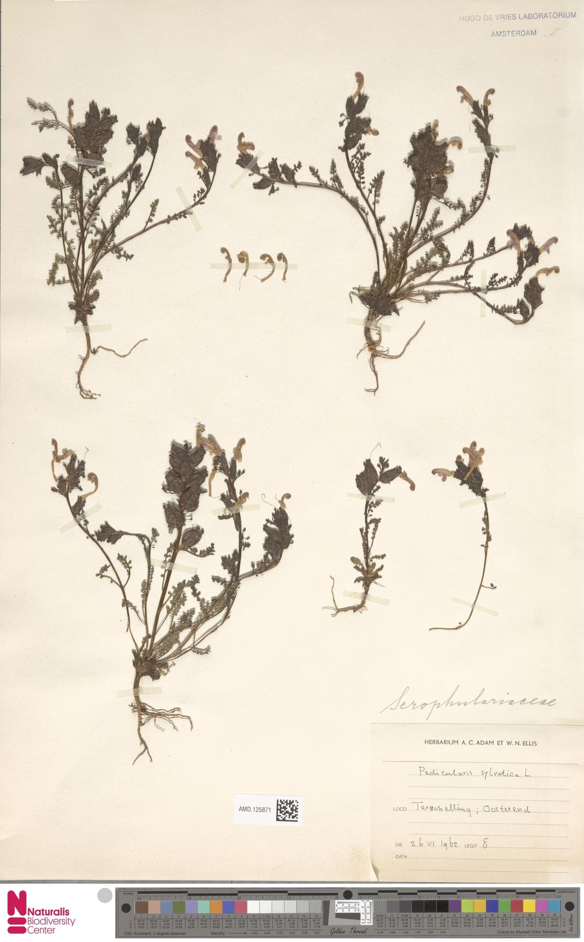 AMD.125871 | Pedicularis sylvatica L.
