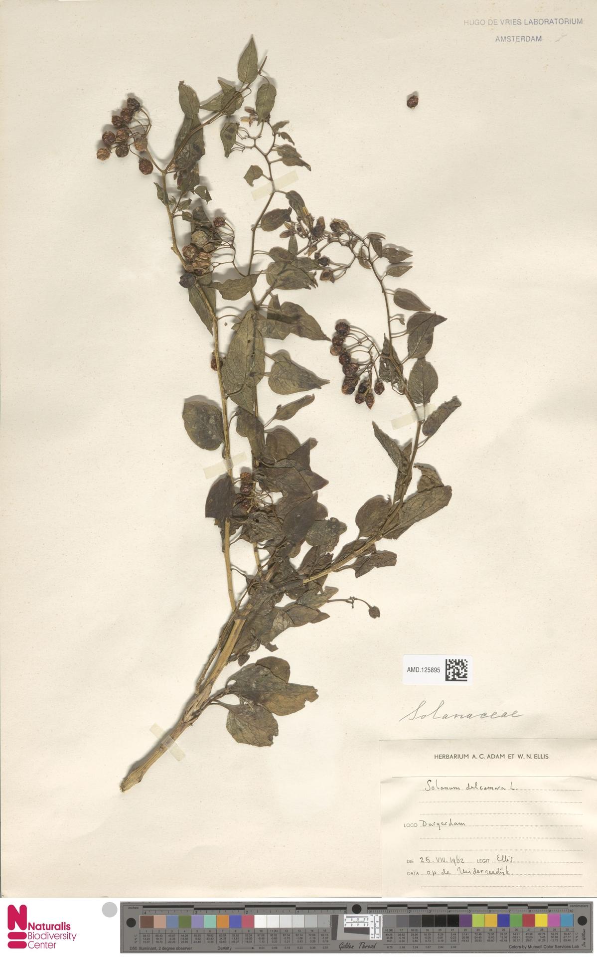 AMD.125895   Solanum dulcamara L.