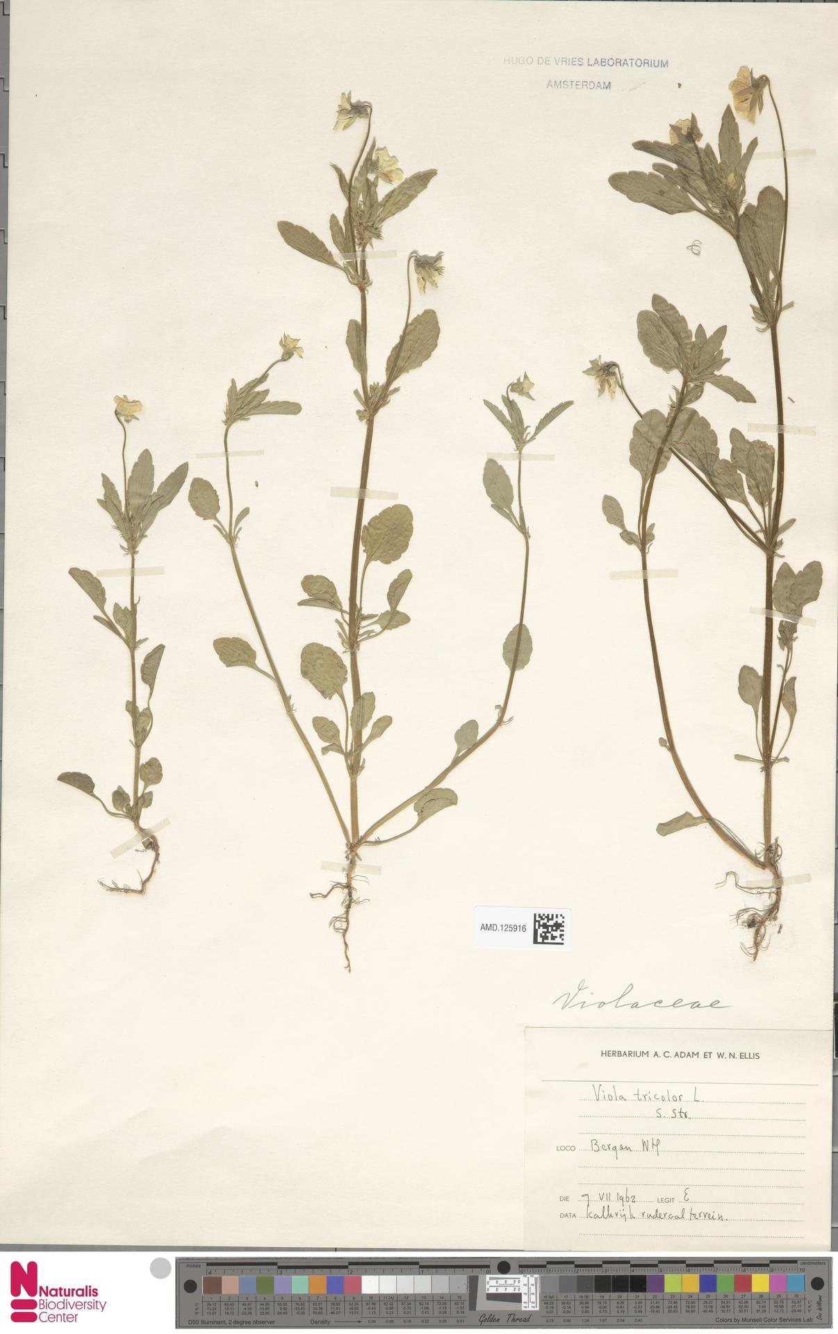 AMD.125916   Viola tricolor L.
